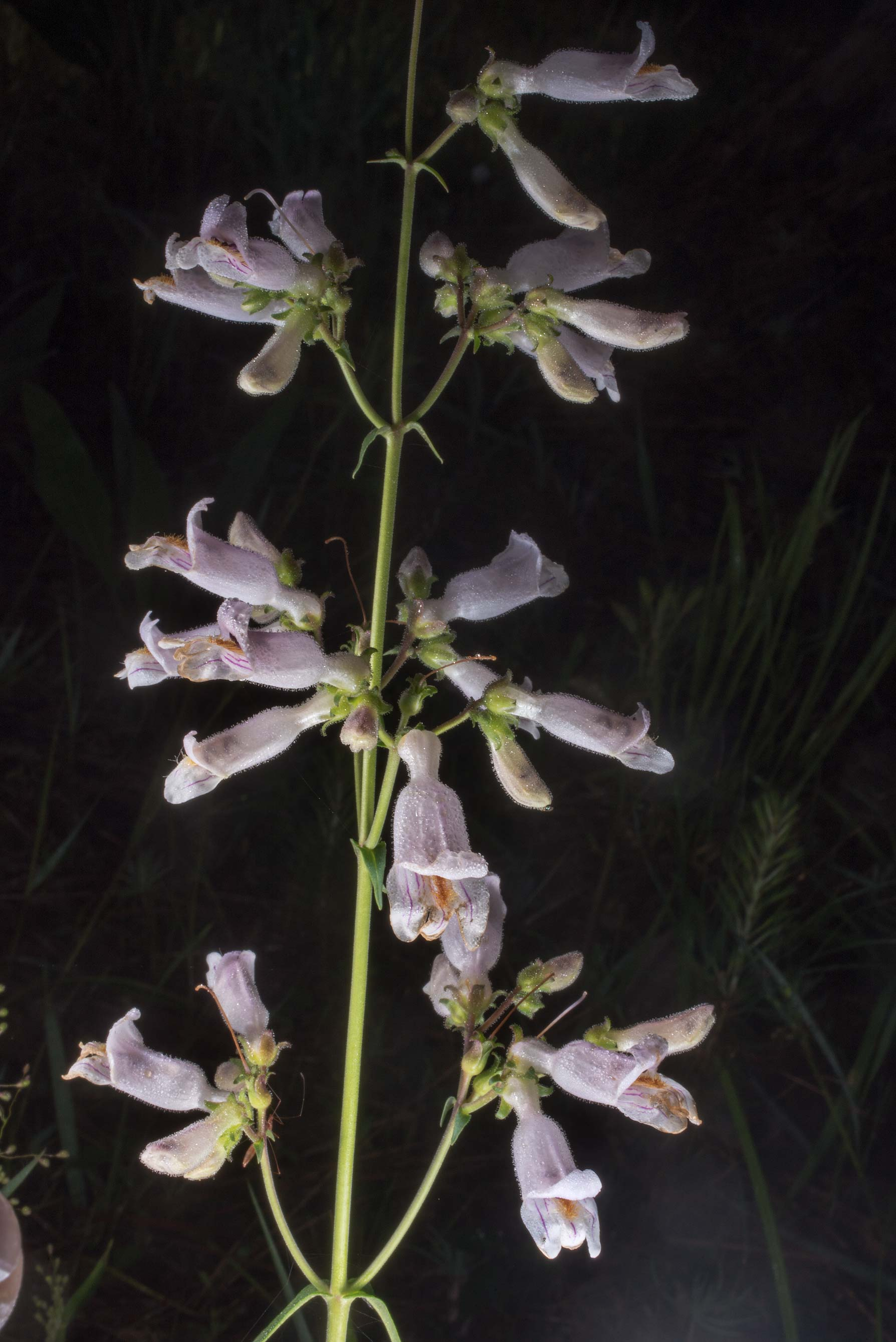 Nodding beardtongue (Penstemon laxiflorus) on...Forest west from Richards. Texas