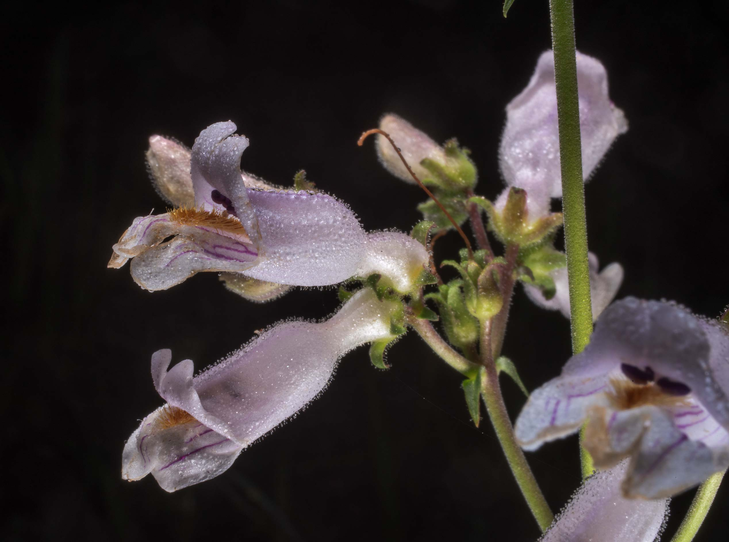 Flowers of nodding beardtongue (Penstemon...Forest west from Richards. Texas