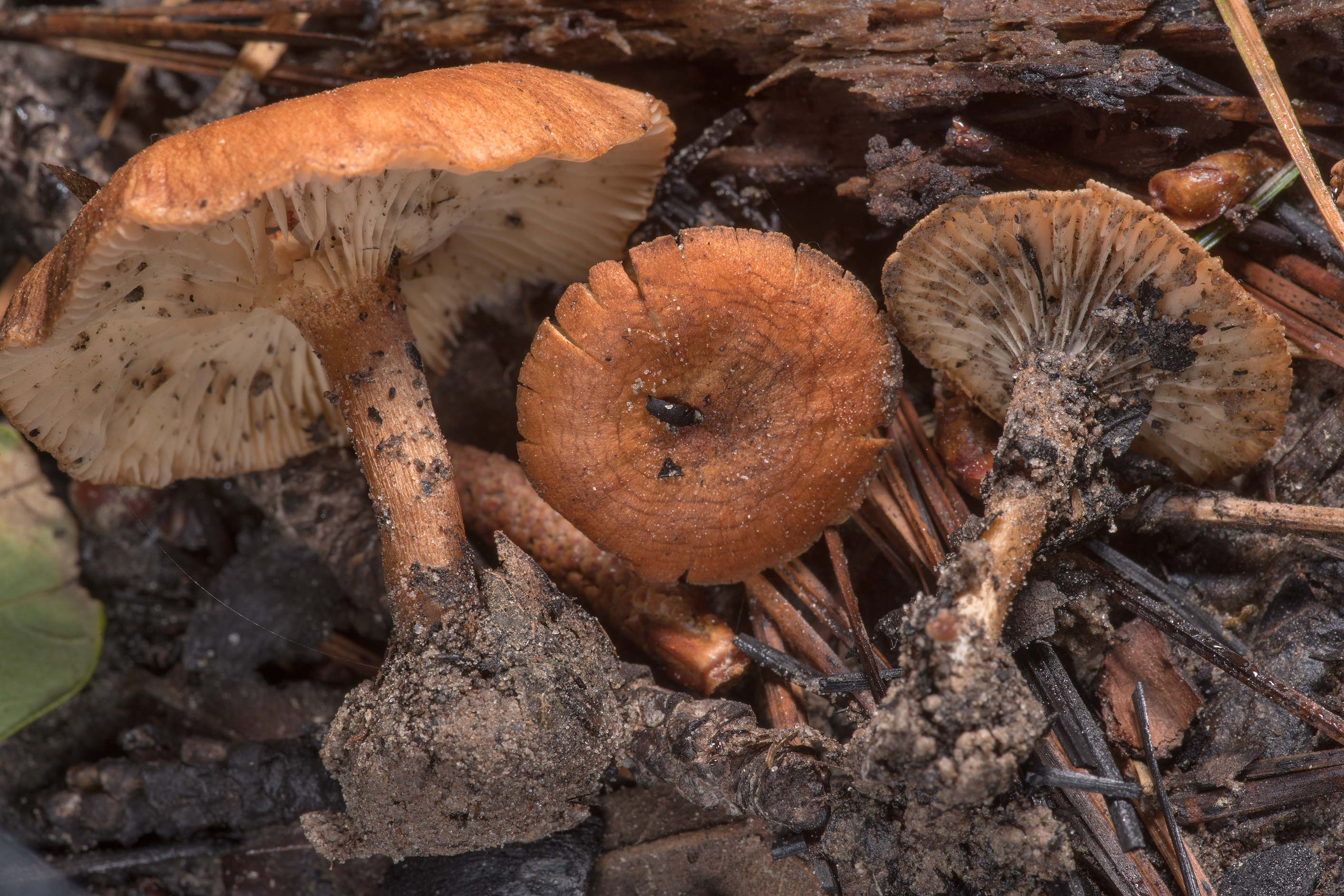 Orange funnel mushrooms (Clitocybe) on Lone Star...Forest west from Richards. Texas