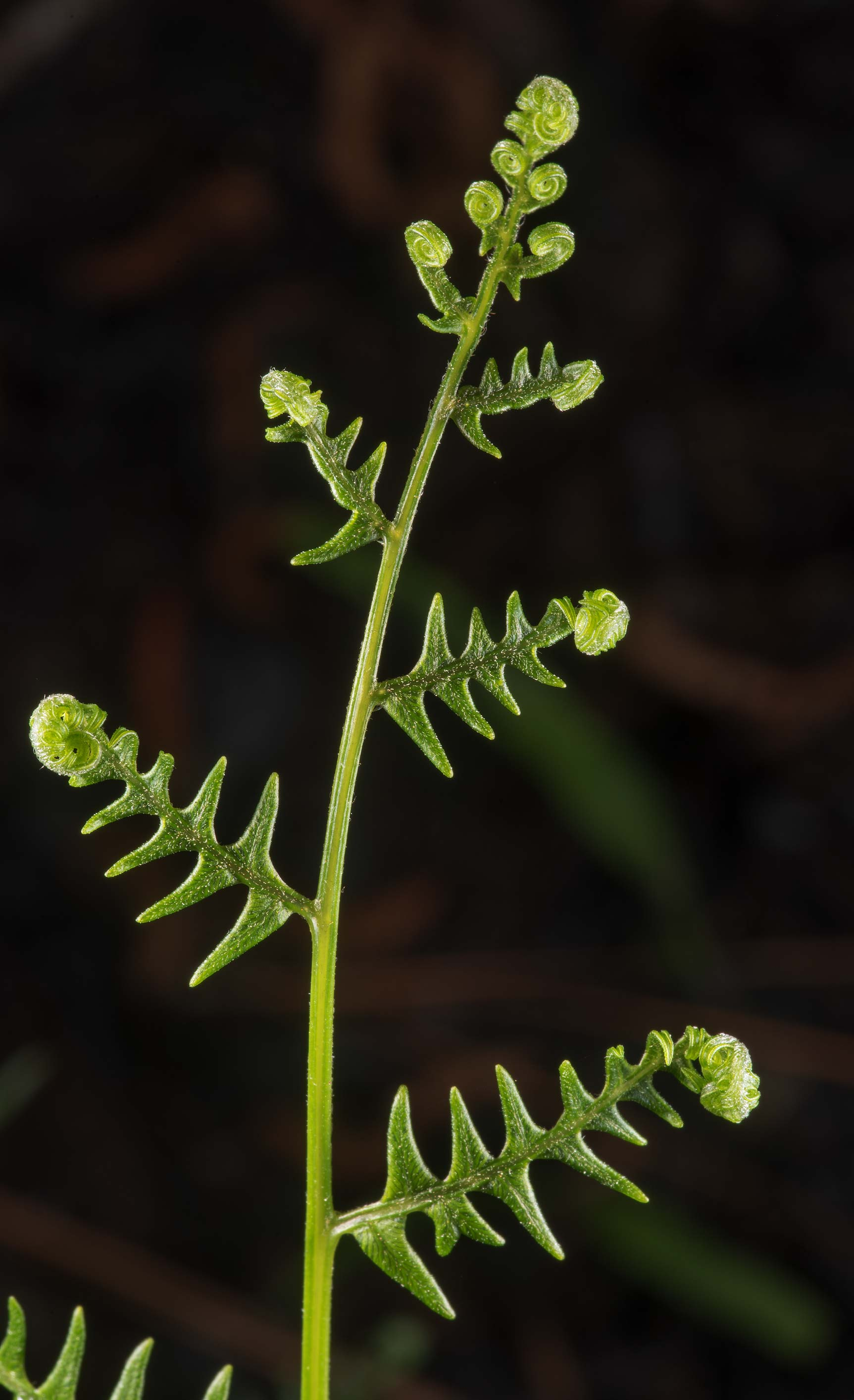 Shoot of bracken fern (Pteridium aquilinum) on...Forest west from Richards. Texas