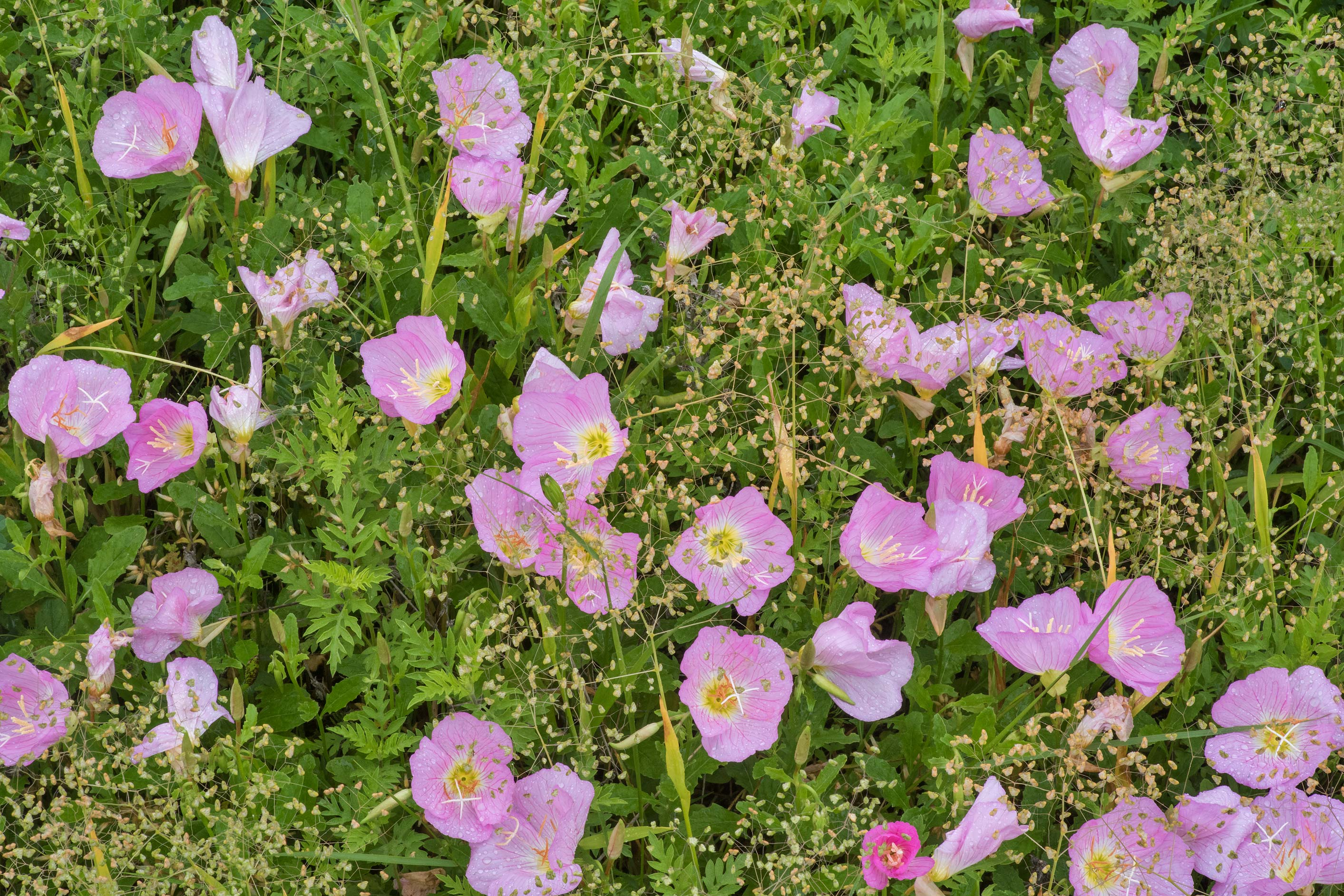 Showy evening primrose (Oenothera speciosa) with...M University. College Station, Texas