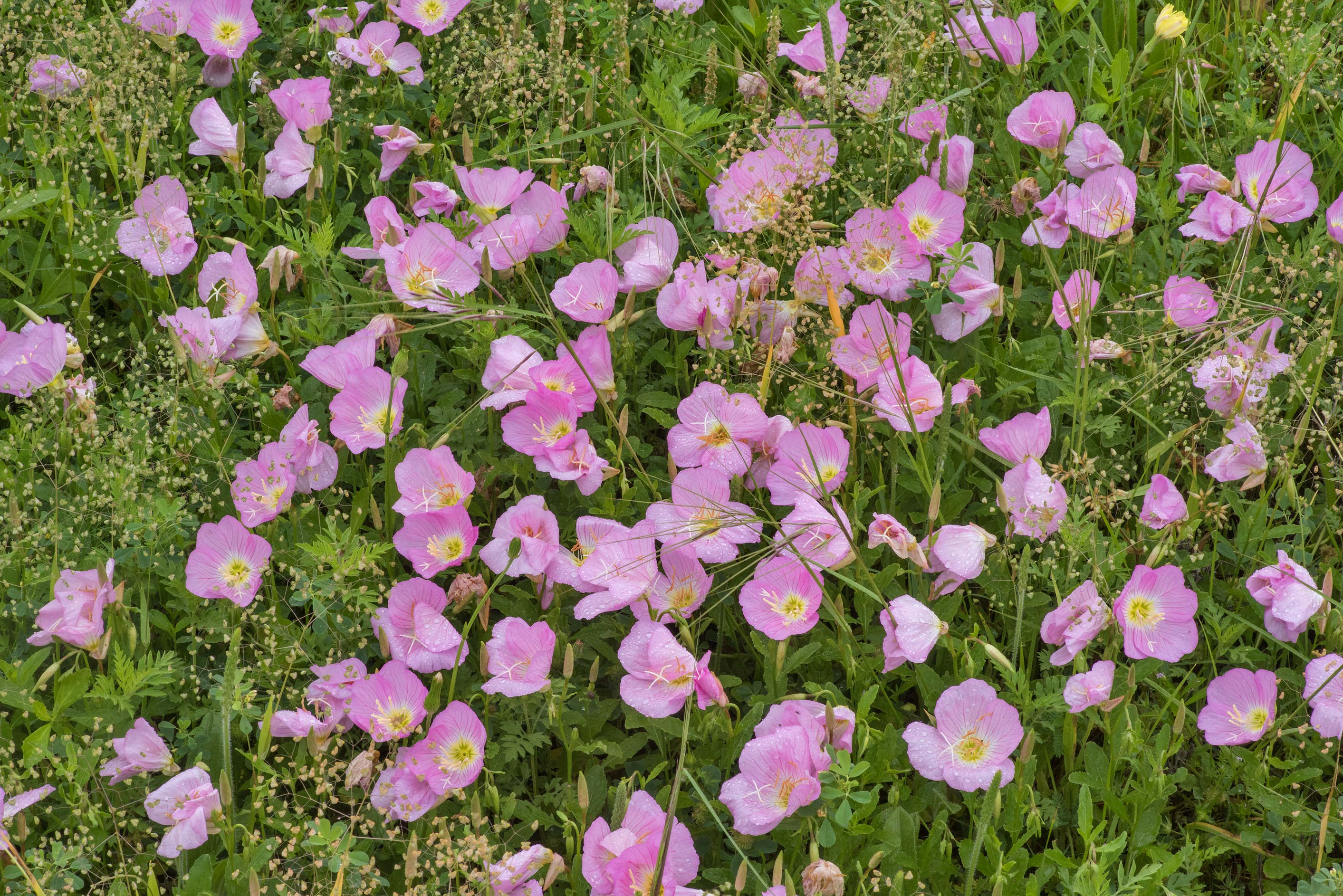 Showy evening primrose (Oenothera speciosa) on a...M University. College Station, Texas