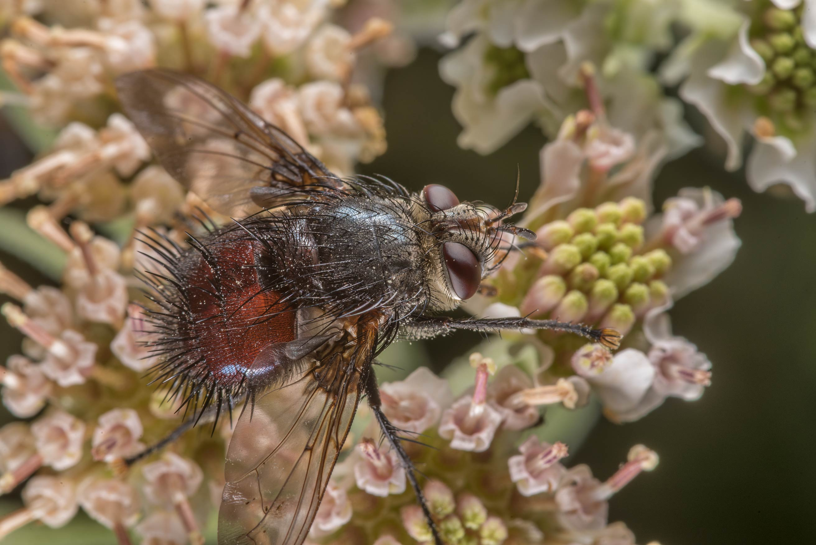 Large tachinid fly (Diptera, Tachinidae) on...of Somerville Lake State Park. Texas