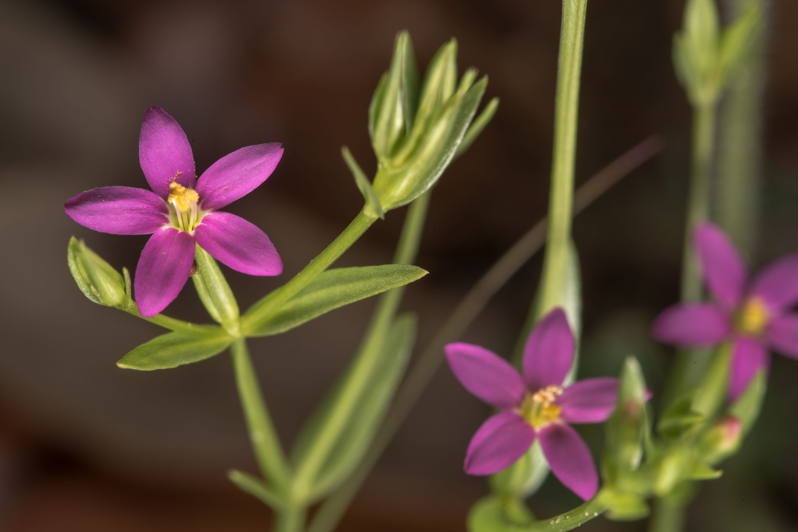 Pink flowers of Lady bird's centaury (Zeltnera...of Somerville Lake State Park. Texas
