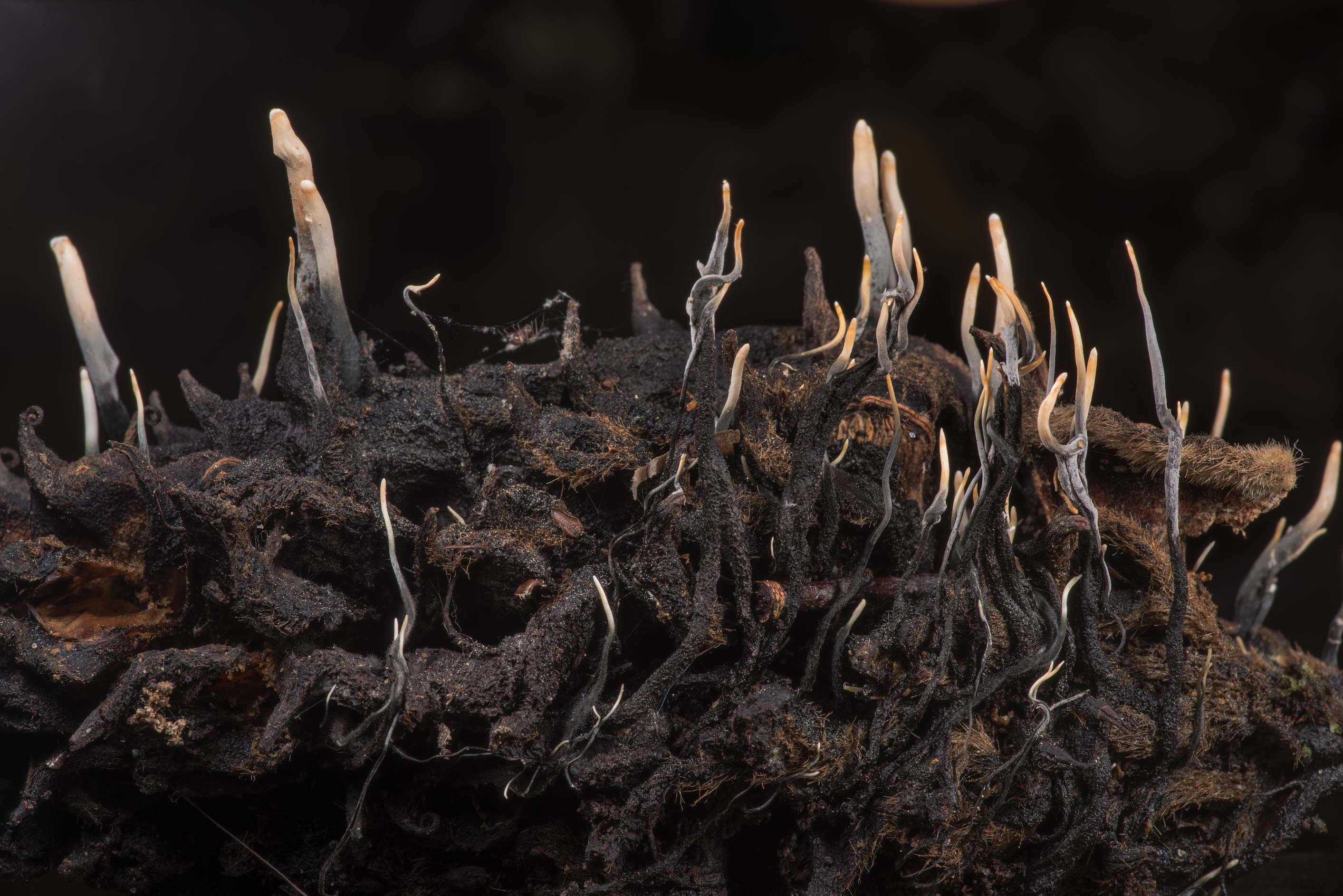 Xylaria magnoliae mushrooms on a magnolia cone in...National Forest. Shepherd, Texas