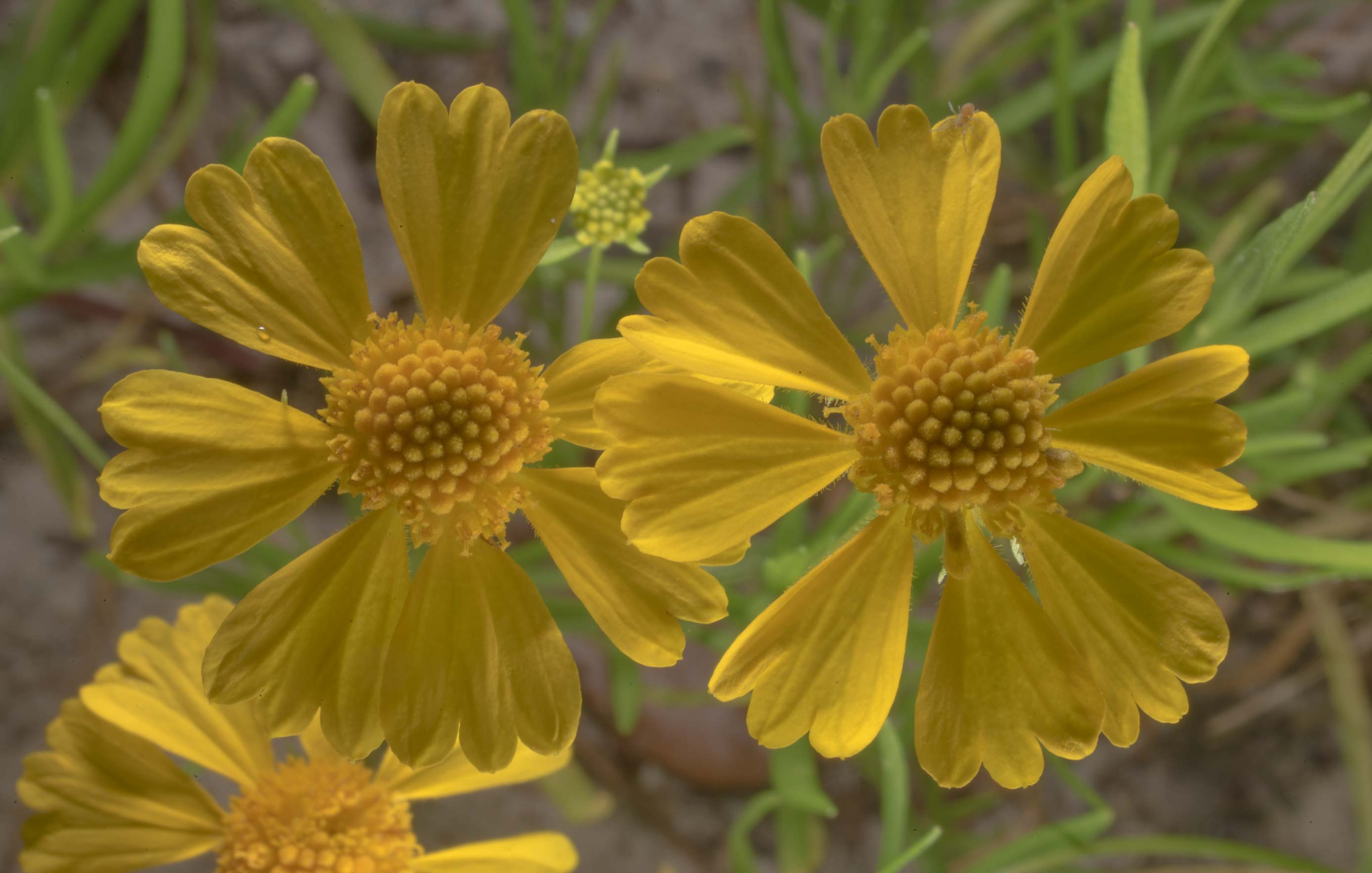 Sneezeweed (Helenium amarum) in Wolf Pen Creek Park. College Station, Texas