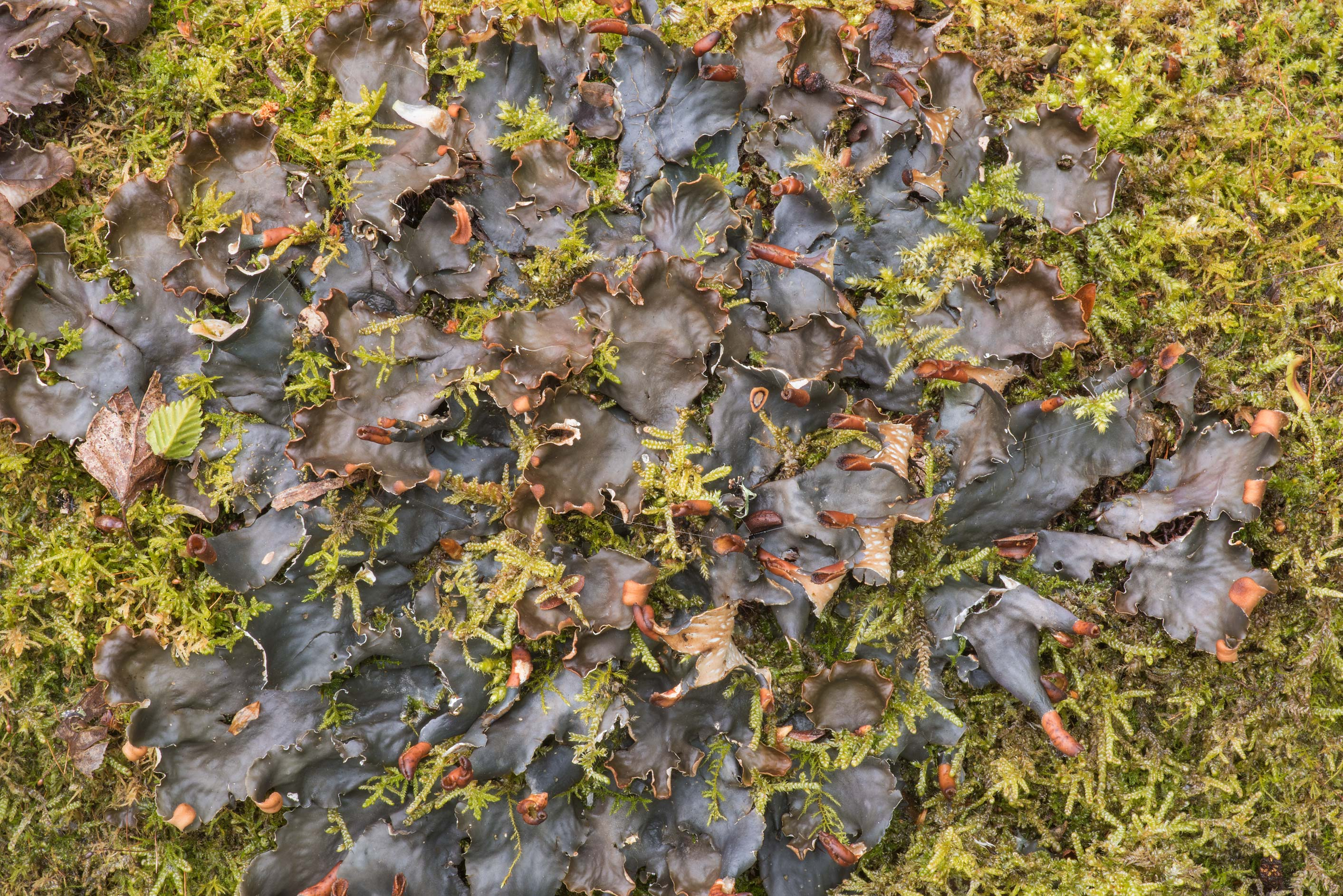 Peltigera lichen on a mossy stone near Lisiy Nos, west from St.Petersburg. Russia