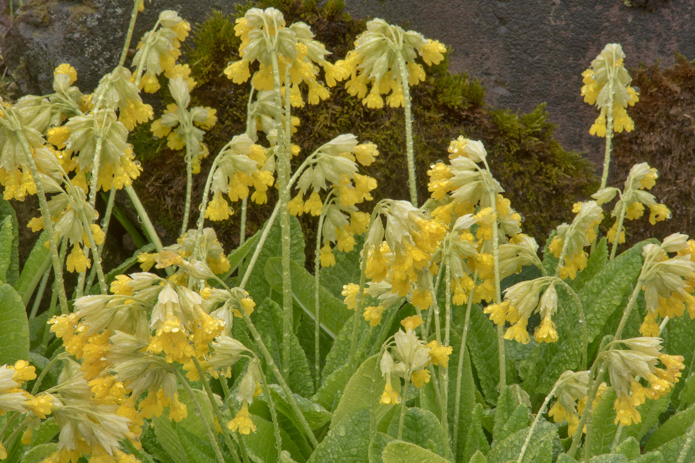 Yellow flowers of cowslip (Primula veris) in...Institute. St.Petersburg, Russia