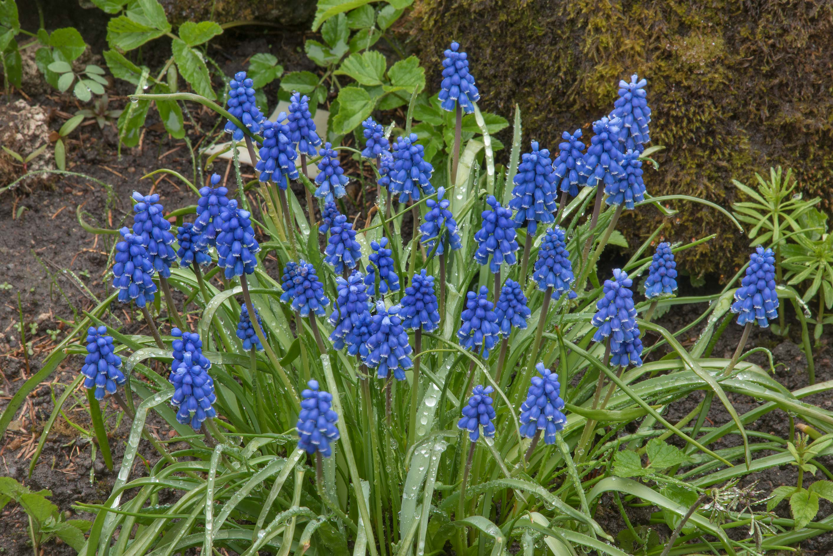 Blue flowers of grape hyacinth (Muscari) in Peter...Institute. St.Petersburg, Russia