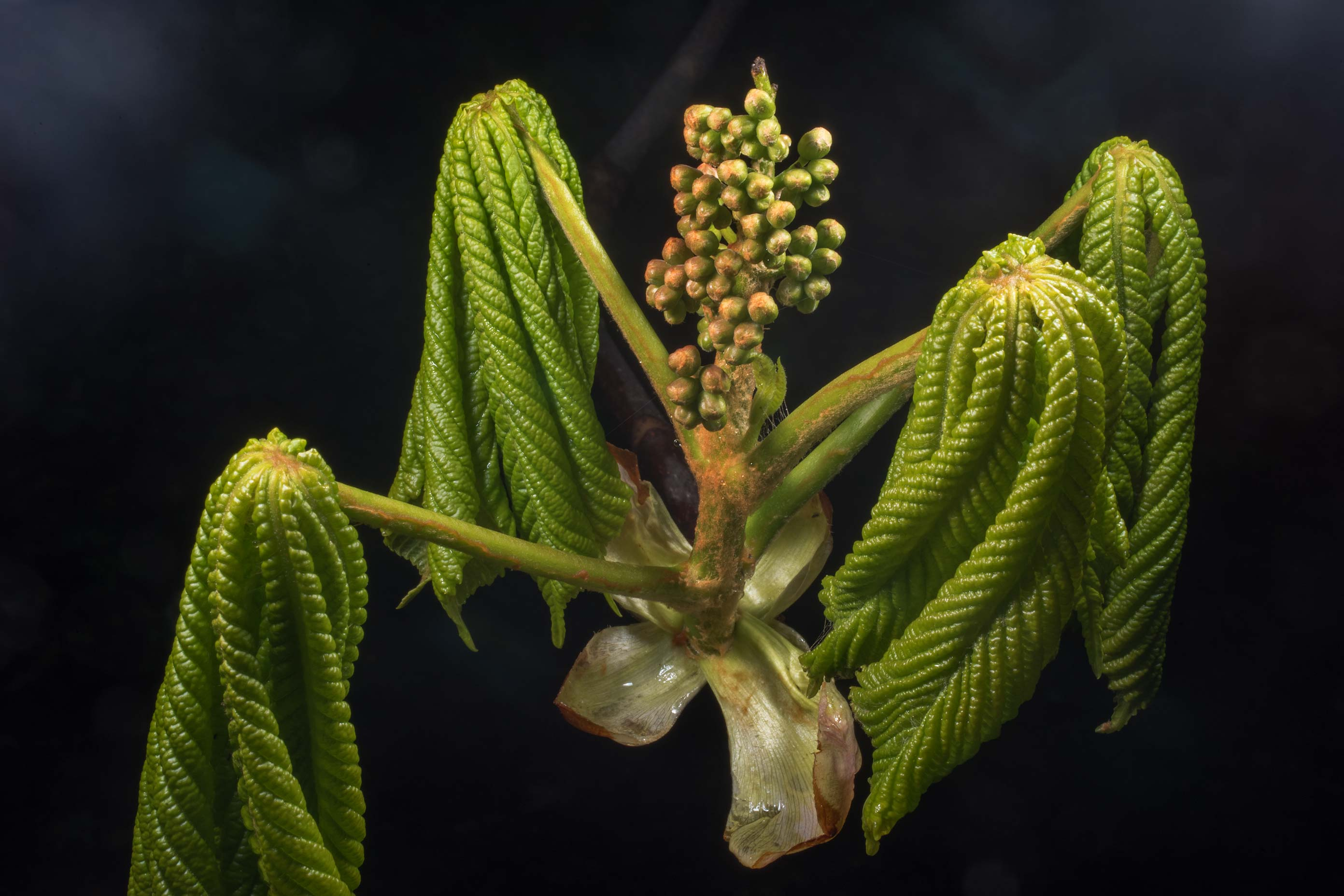 Horse chestnut weth flower buds in Peter the...Institute. St.Petersburg, Russia