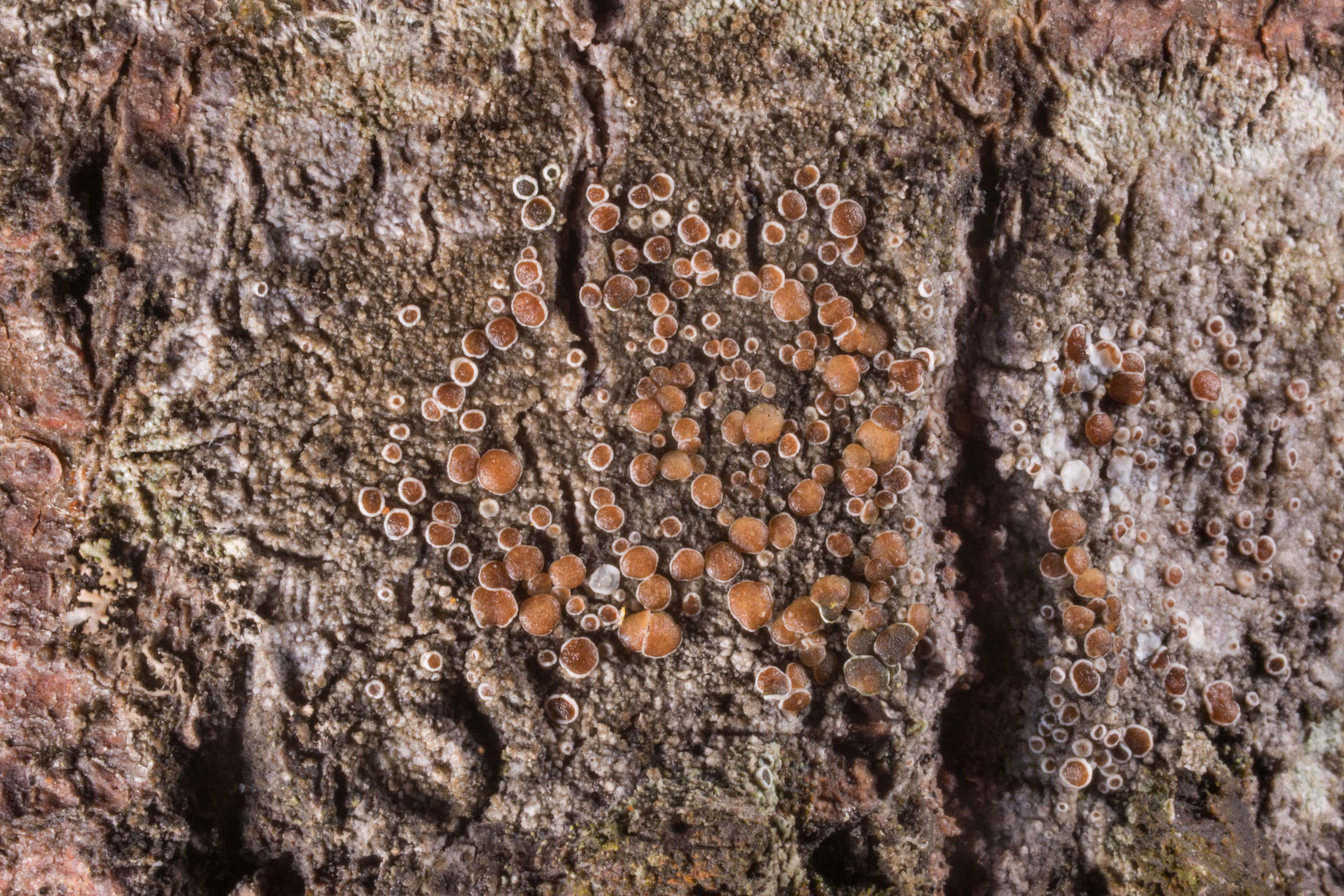 Orange Lecanora lichen on a fallen aspen tree...north from St.Petersburg. Russia