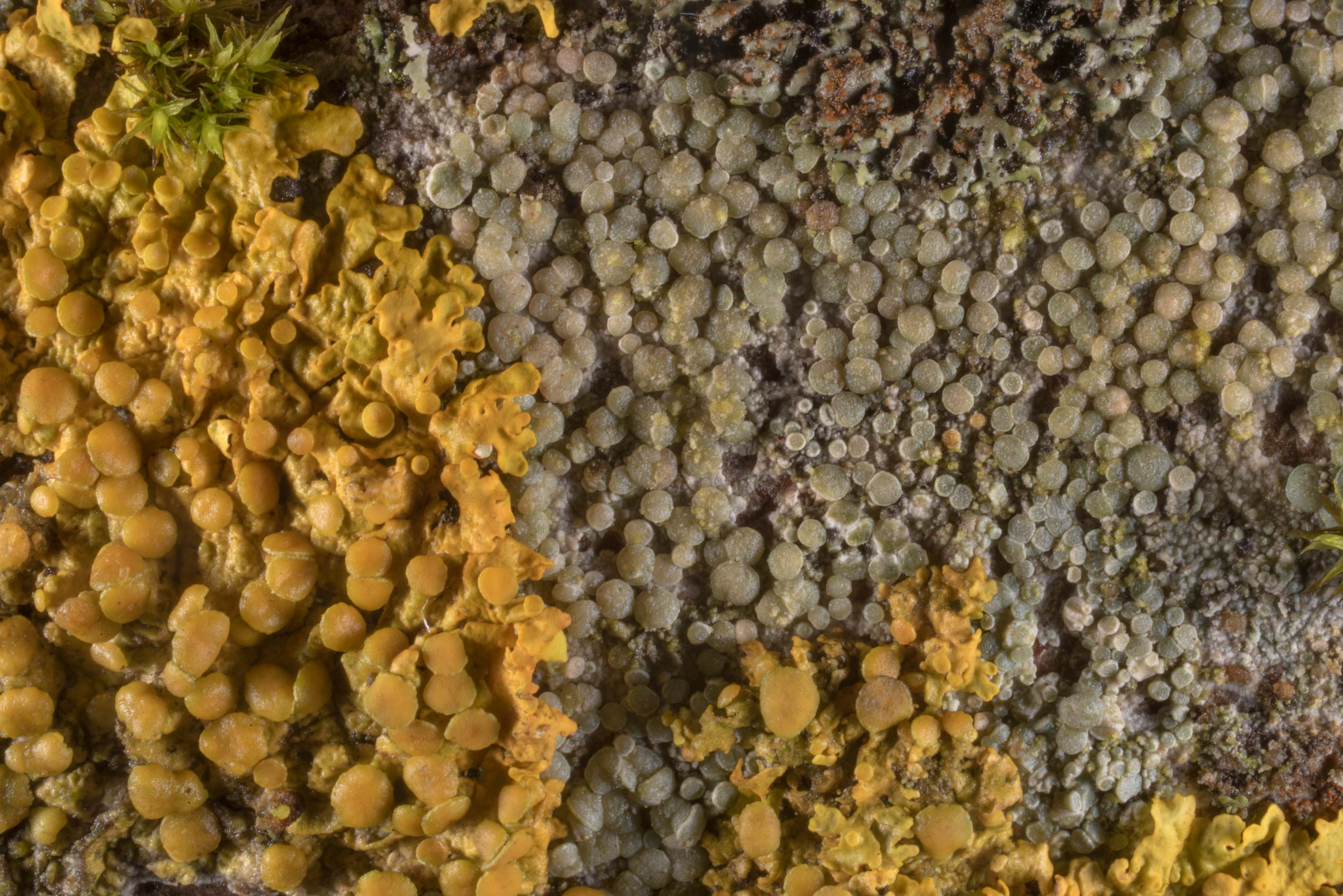 Ochrolechia lichen with Xanthoria parietina on a...north from St.Petersburg. Russia
