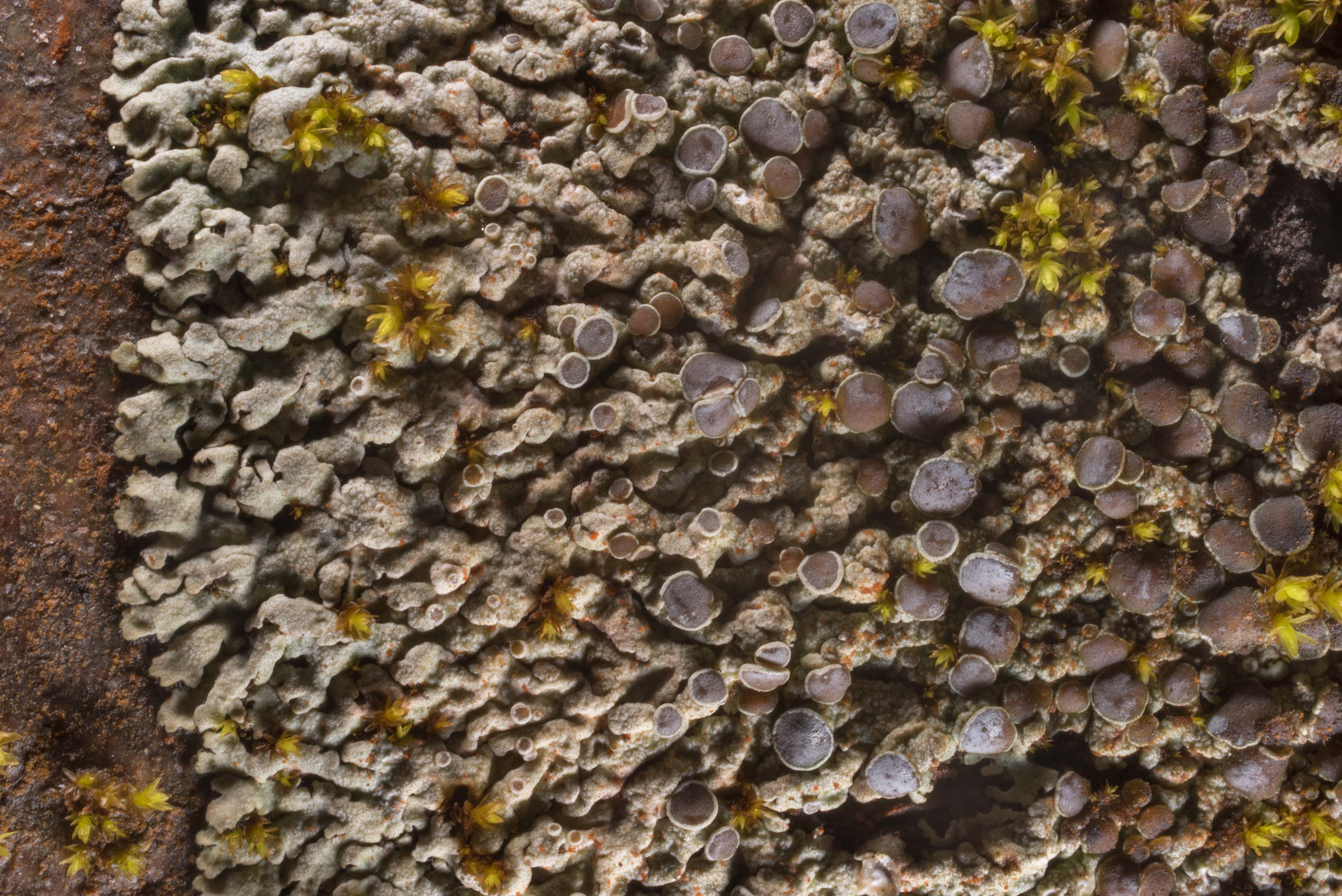 Hoary rosette lichen (Physcia aipolia) on a...north from St.Petersburg. Russia