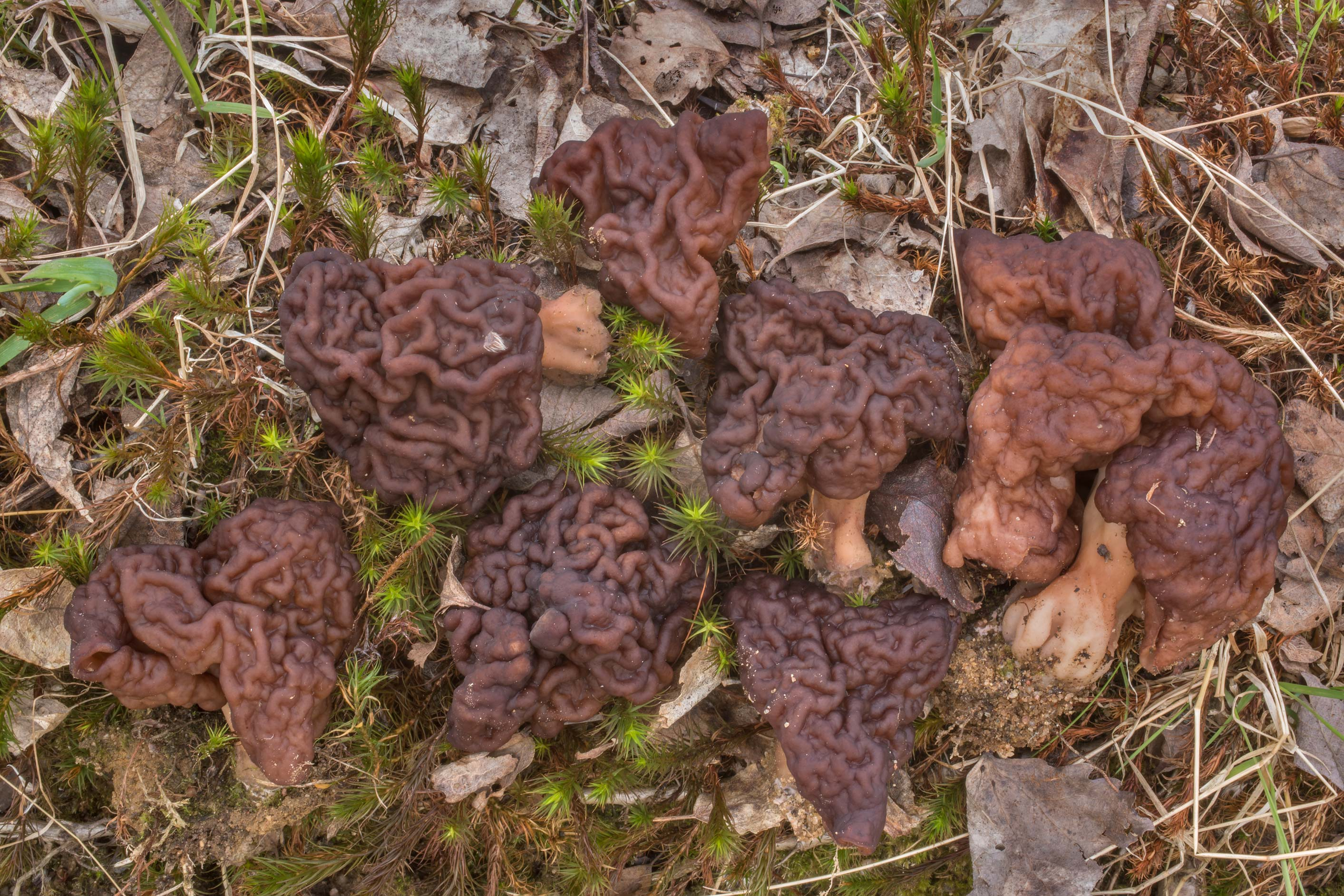 False morel mushrooms (Gyromitra esculenta) on...north from St.Petersburg. Russia