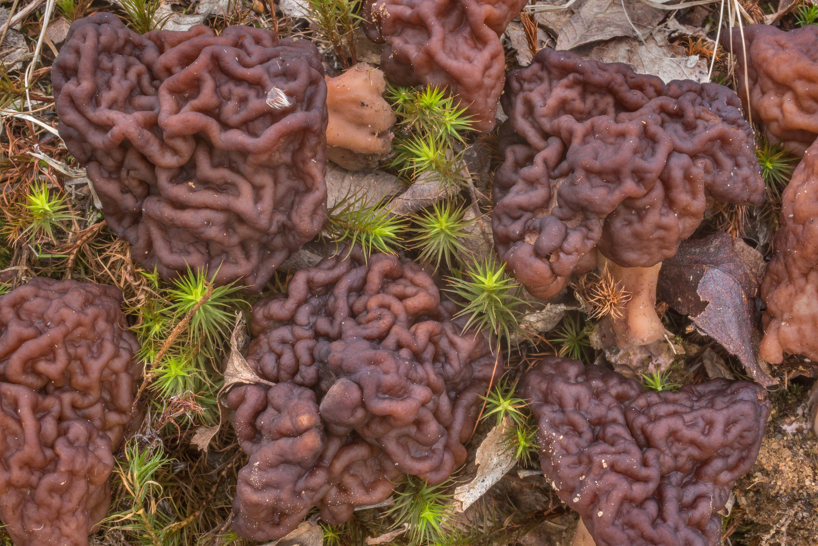 False morel mushrooms (Gyromitra esculenta) in...north from St.Petersburg. Russia