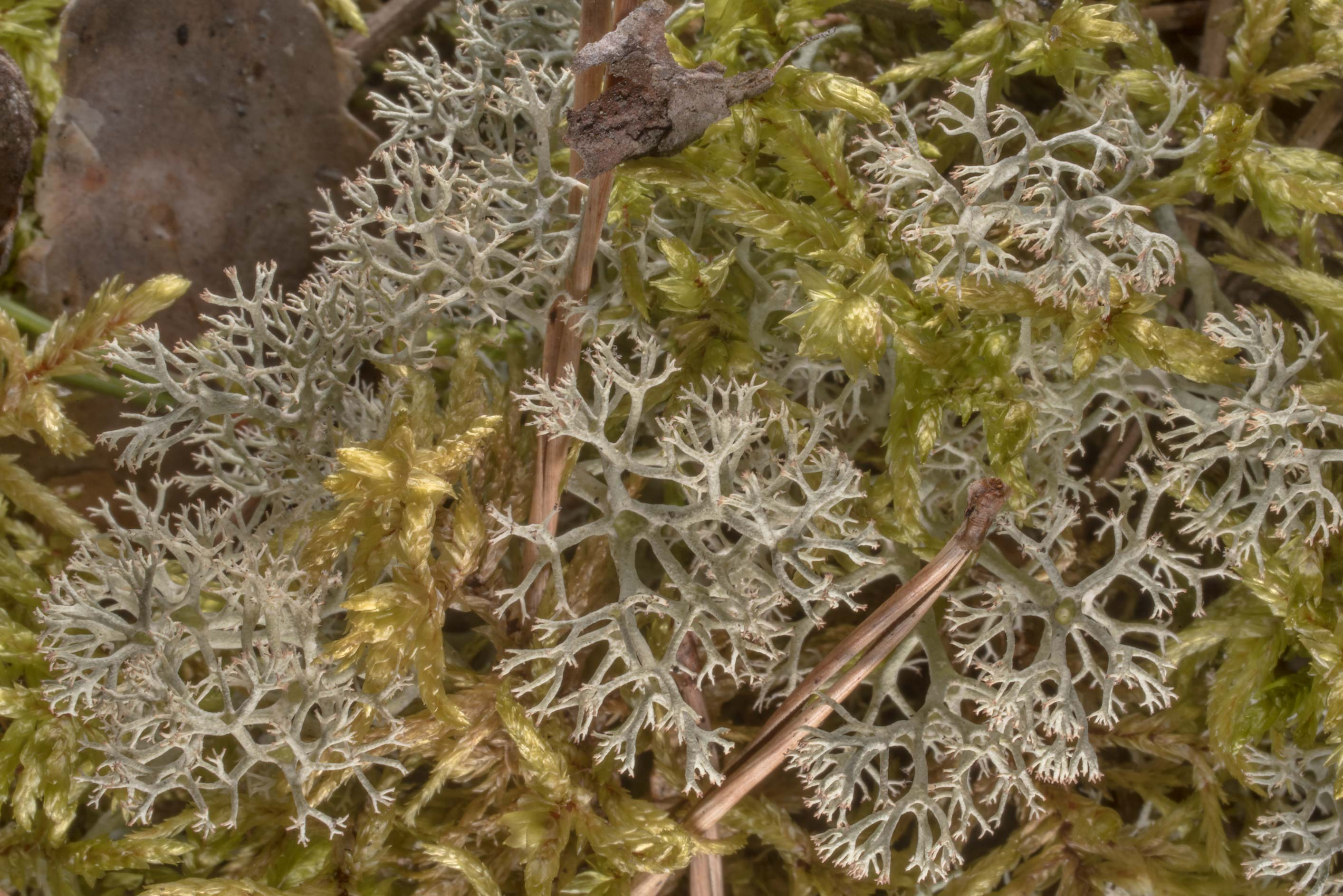 Reindeer lichen (Cladonia portentosa) with moss...miles north from St.Petersburg. Russia
