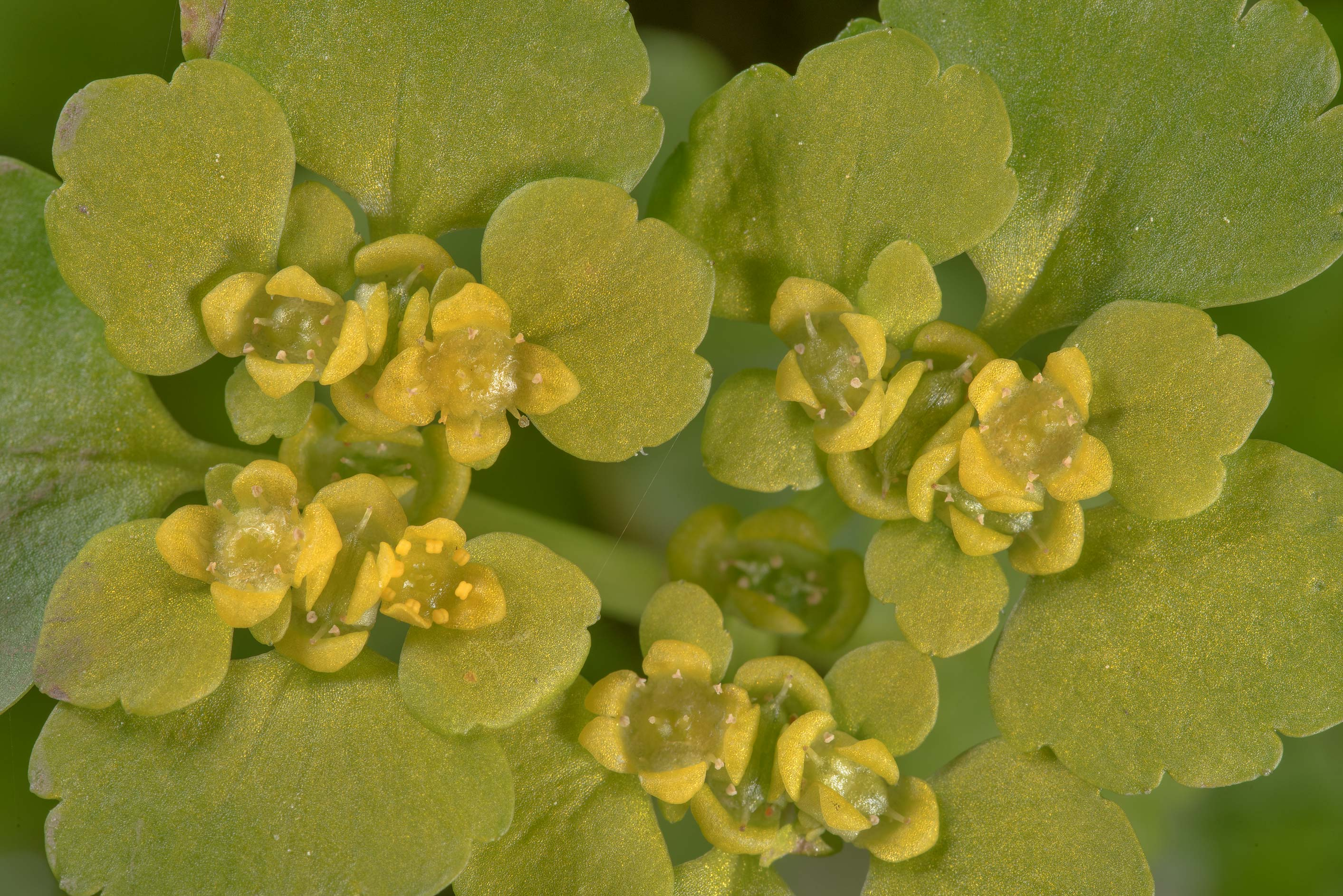 Close up of Alternate-leaved Golden Saxifrage...south from St.Petersburg. Russia