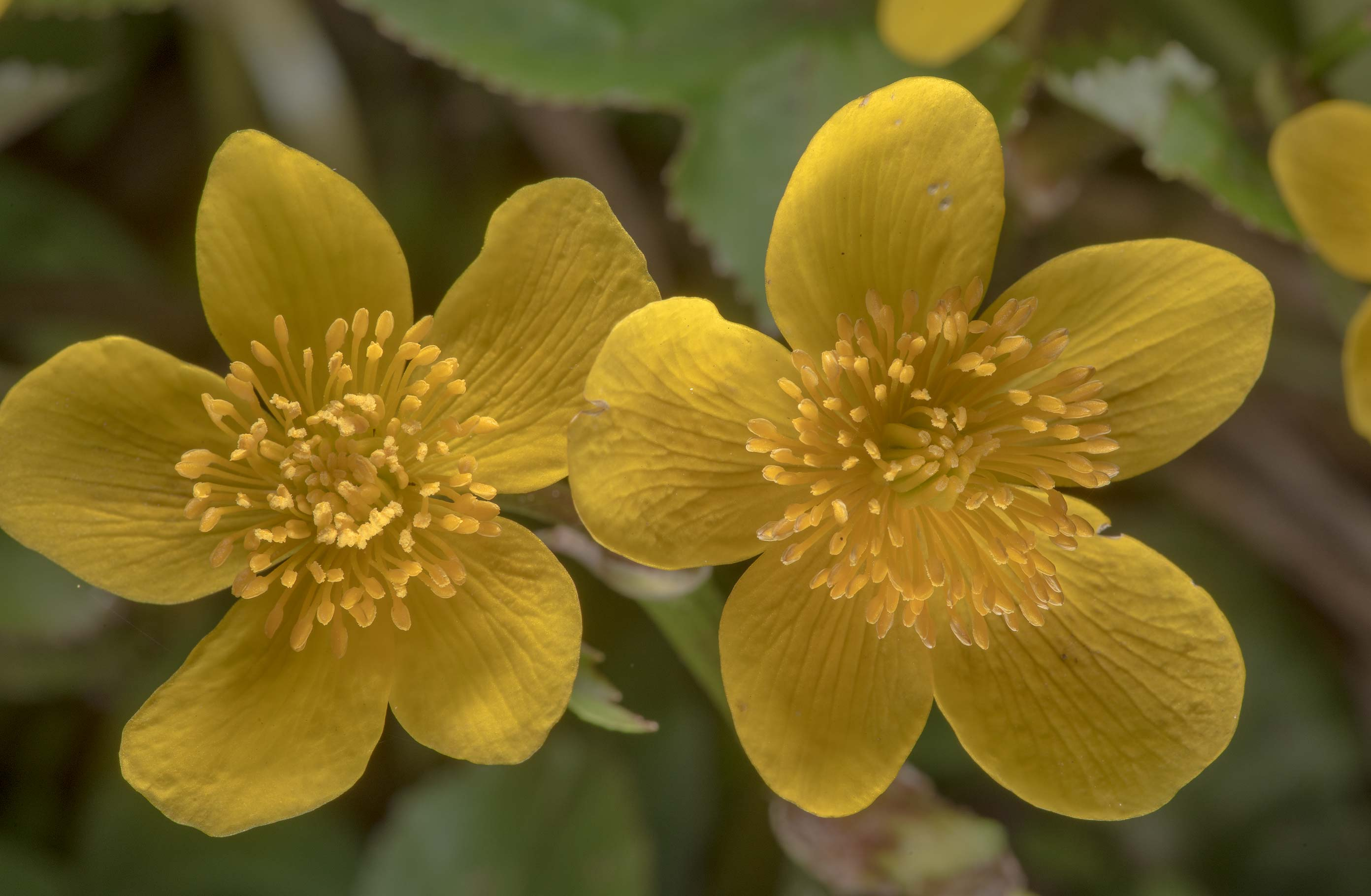 Flowers of marsh marigold (kingcup, Caltha...south from St.Petersburg. Russia
