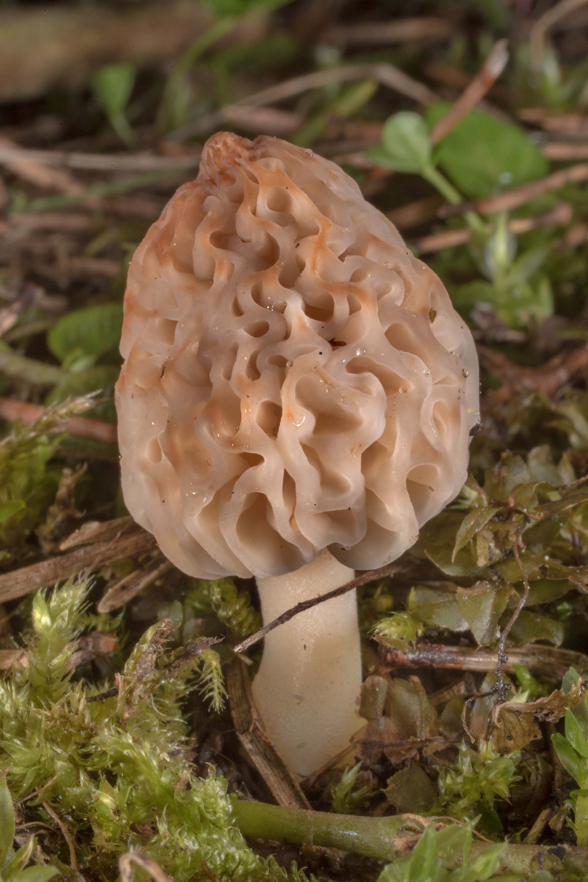 White Morel mushroom (Morchella deliciosa) on...north-west from St.Petersburg, Russia