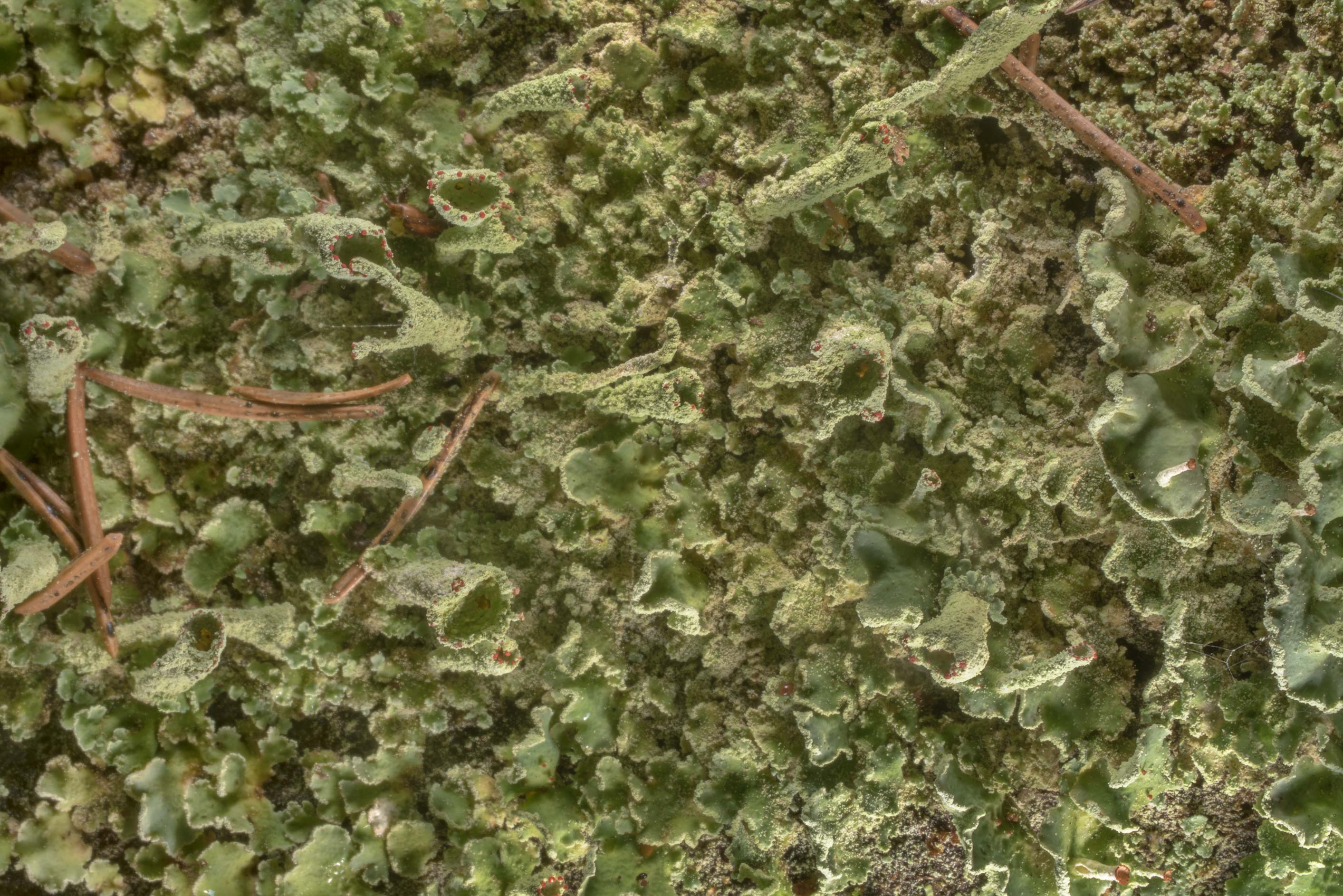 Some green Cladonia lichen on Lenin Trail near...north-west from St.Petersburg, Russia