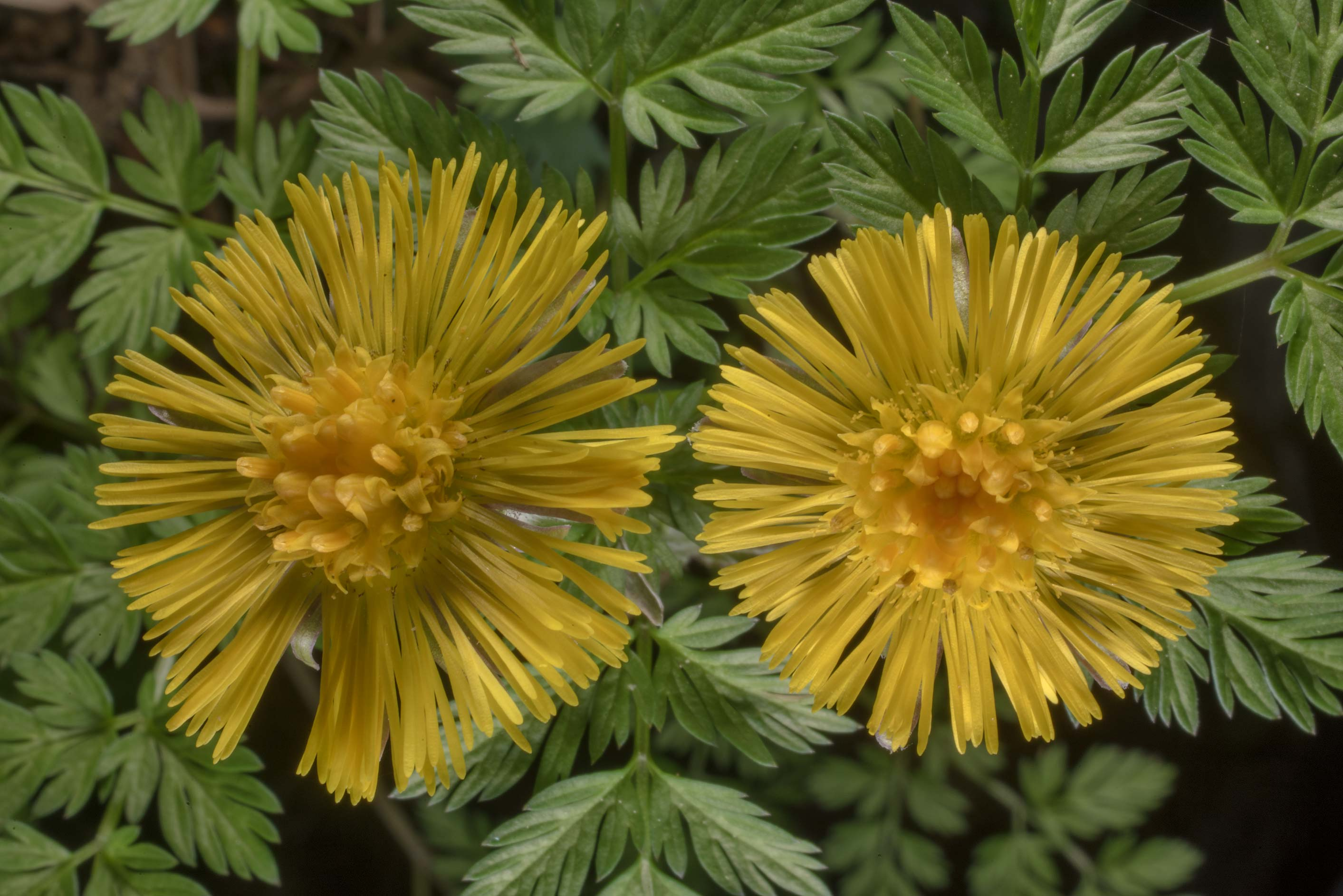 Coltsfoot (Tussilago farfara, Russian name Mat I...north-west from St.Petersburg, Russia