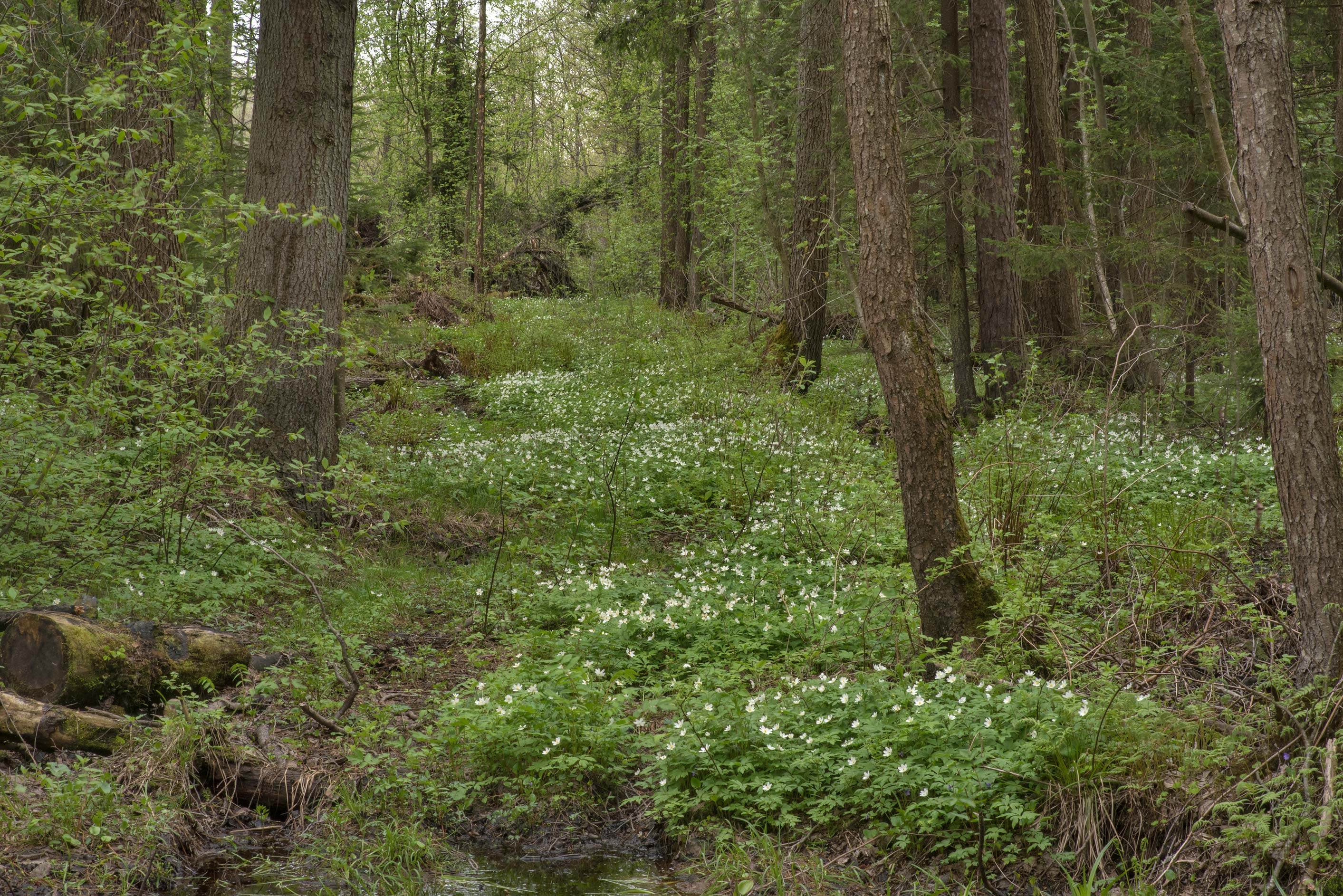 Wood anemone (Anemone nemorosa) in a swamp in...west from St.Petersburg. Russia