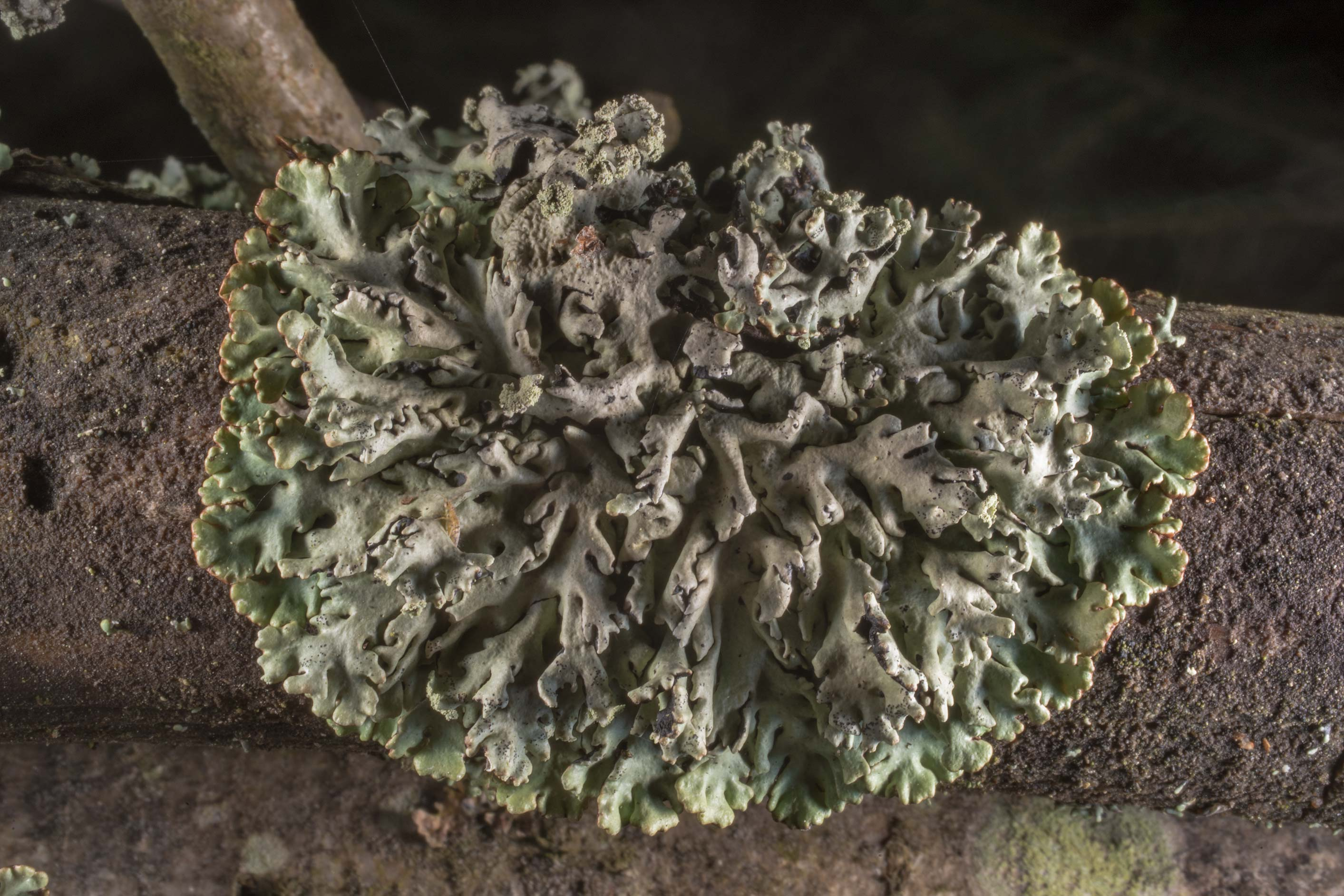 Foliose lichen on a fallen tree branch in...West from St.Petersburg, Russia