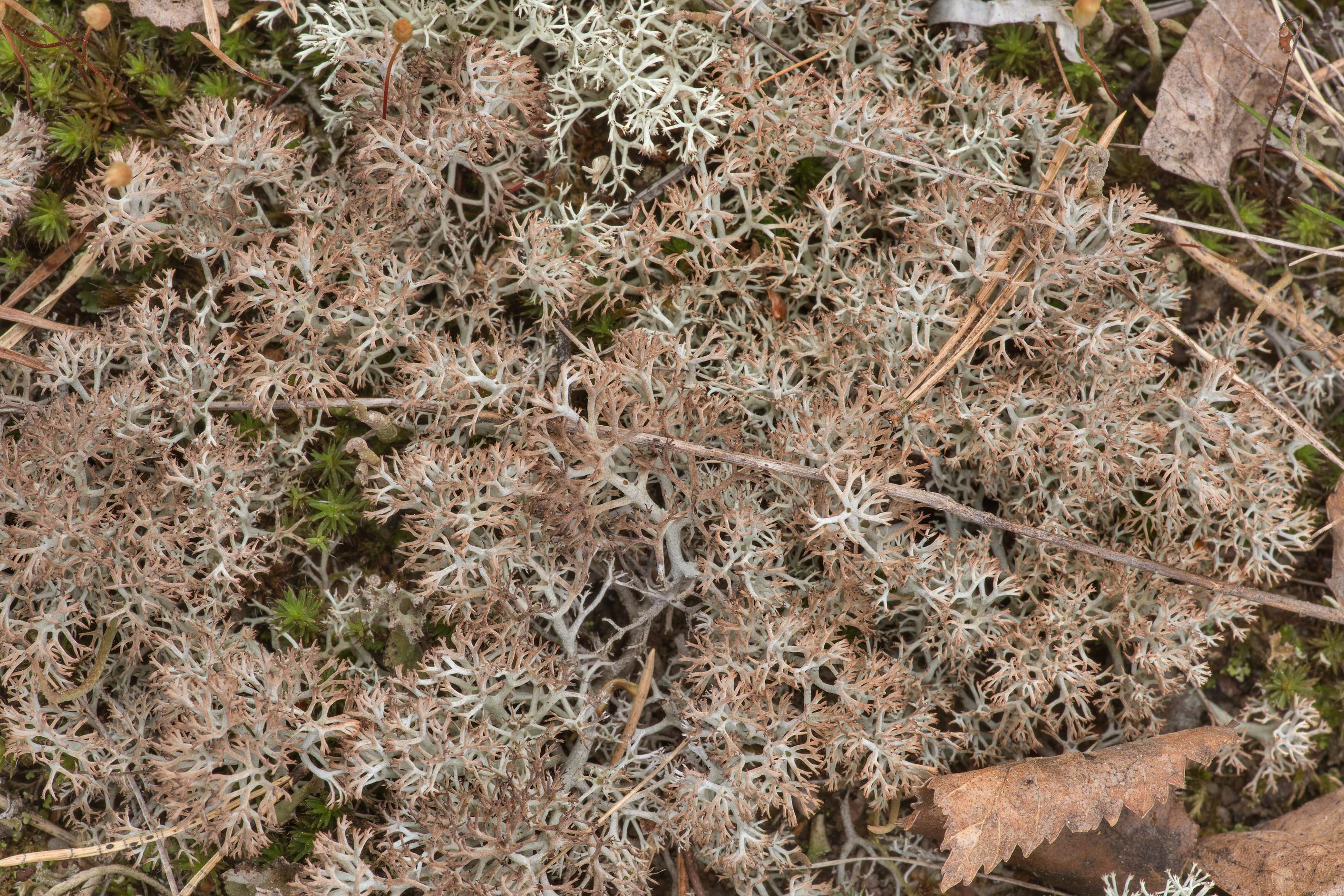 Reindeer lichen (Cladonia portentosa) in dunes...Lake, east from St.Petersburg. Russia