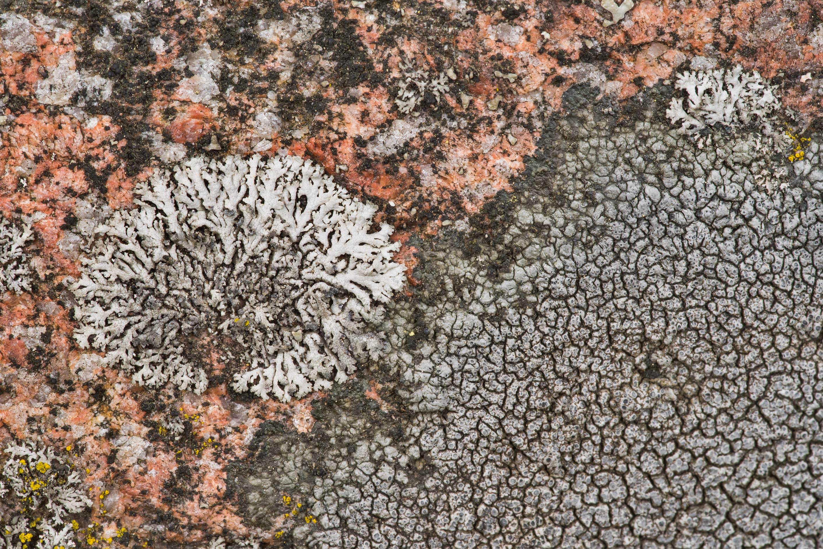 Various saxicolous crustose lichens on a granite...Lake, east from St.Petersburg. Russia