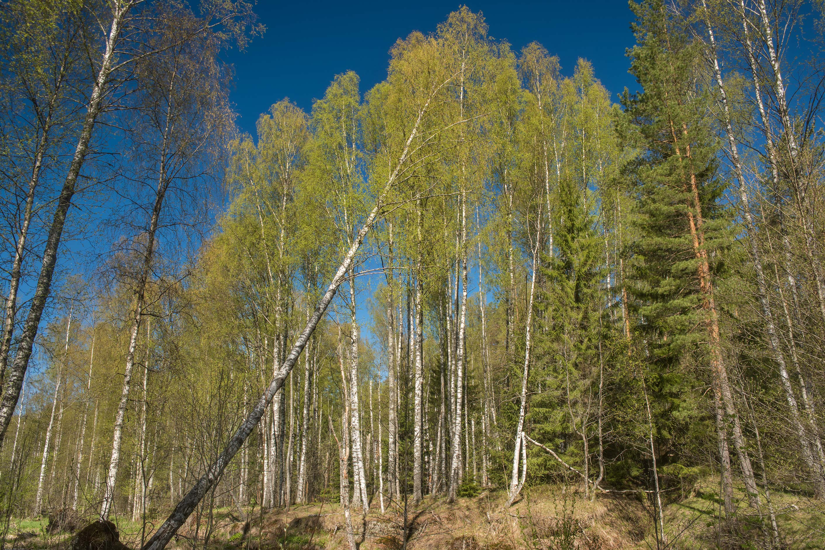 Birch forest near Prytliy Creek east from...north from St.Petersburg. Russia