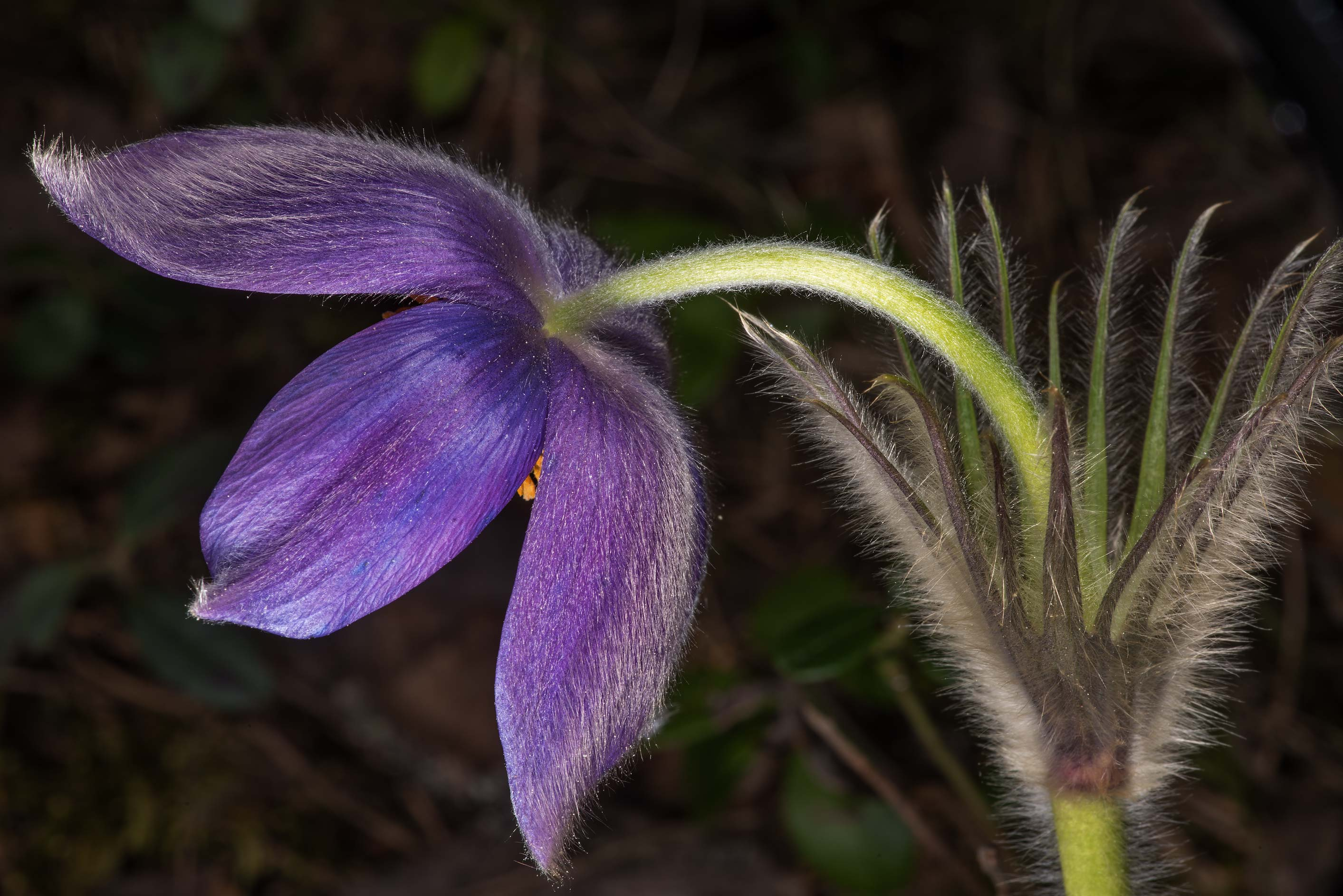 Blooming common pasqueflower (Pulsatilla vulgaris...north from St.Petersburg. Russia