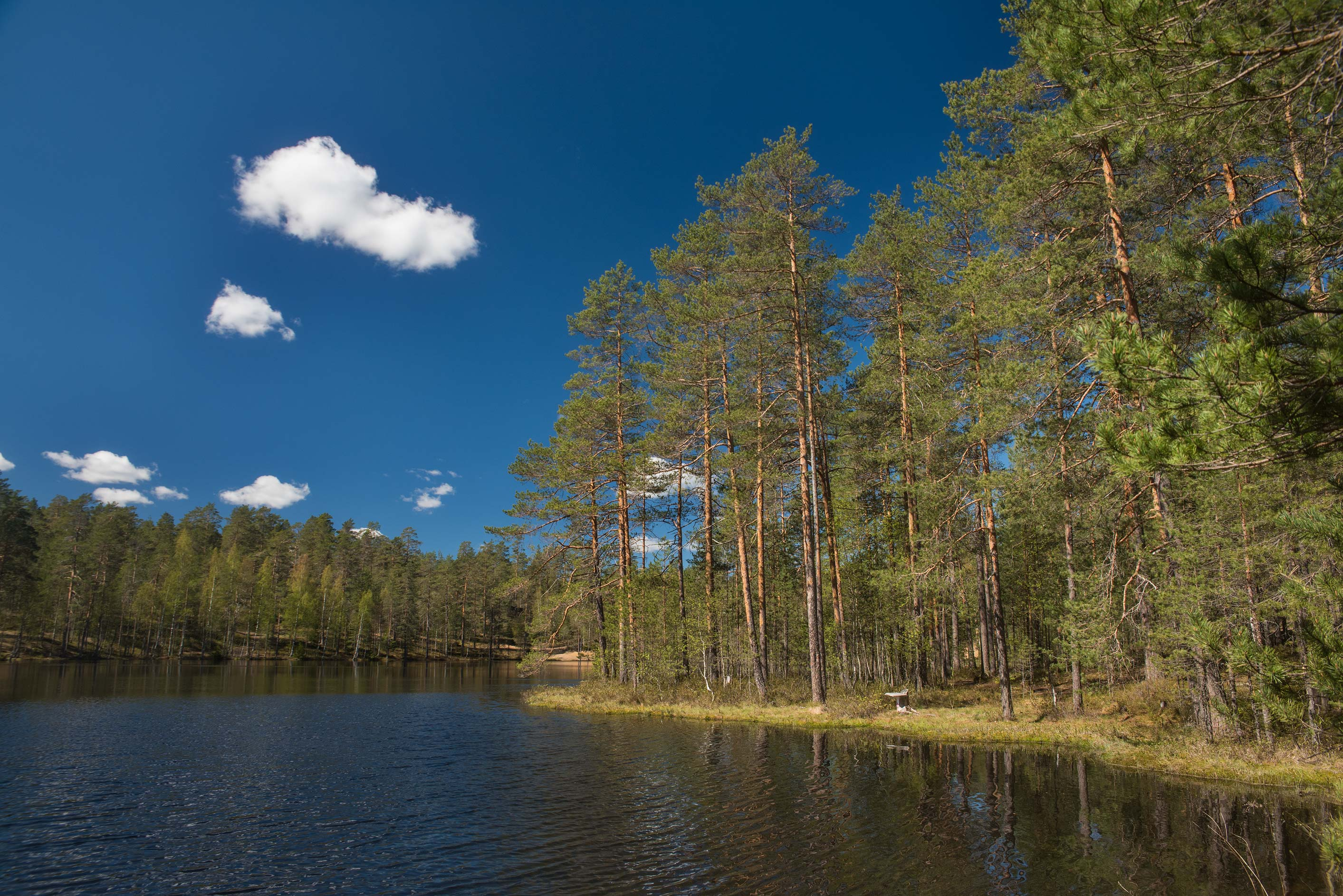Pine forest at Lake Valkialampi (Rybka) near Orekhovo, north from St.Petersburg. Russia