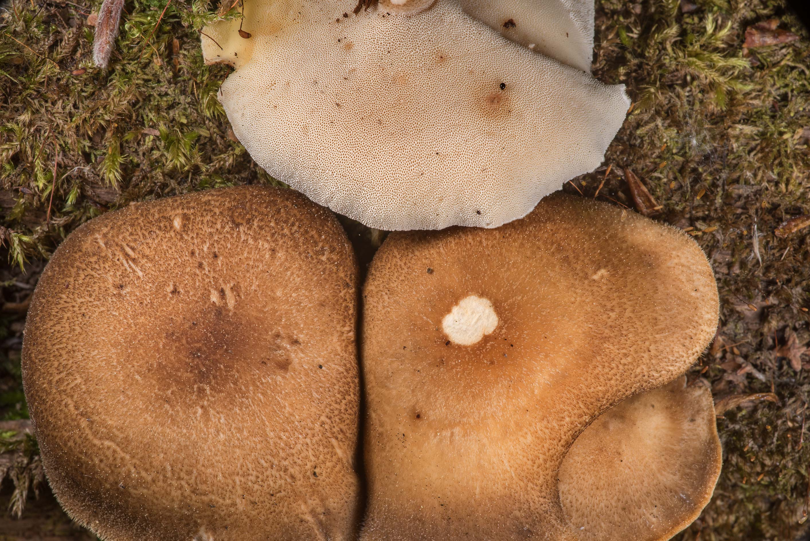 Fringed polypore mushrooms Lentinus substrictus...west from St.Petersburg, Russia