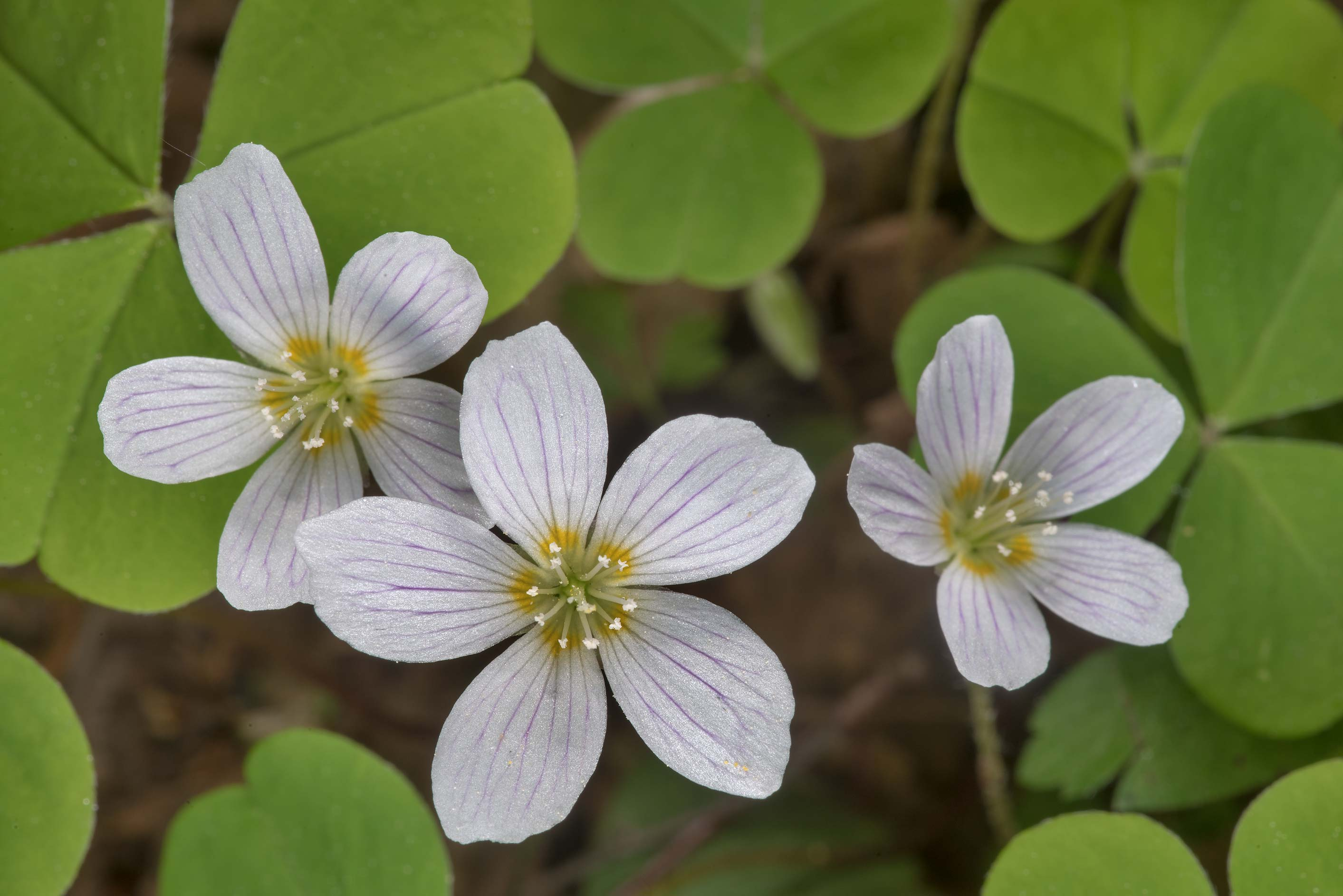 Wood sorrel (Oxalis acetosella, Russian name...west from St.Petersburg, Russia
