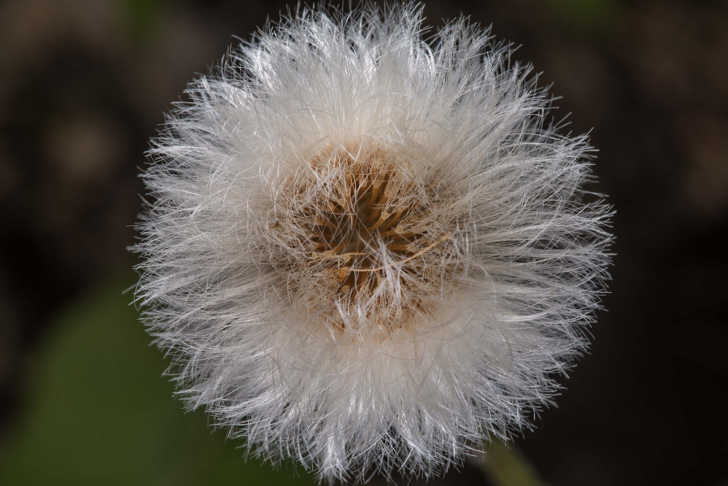 Seed head of coltsfoot (Tussilago farfara...west from St.Petersburg, Russia