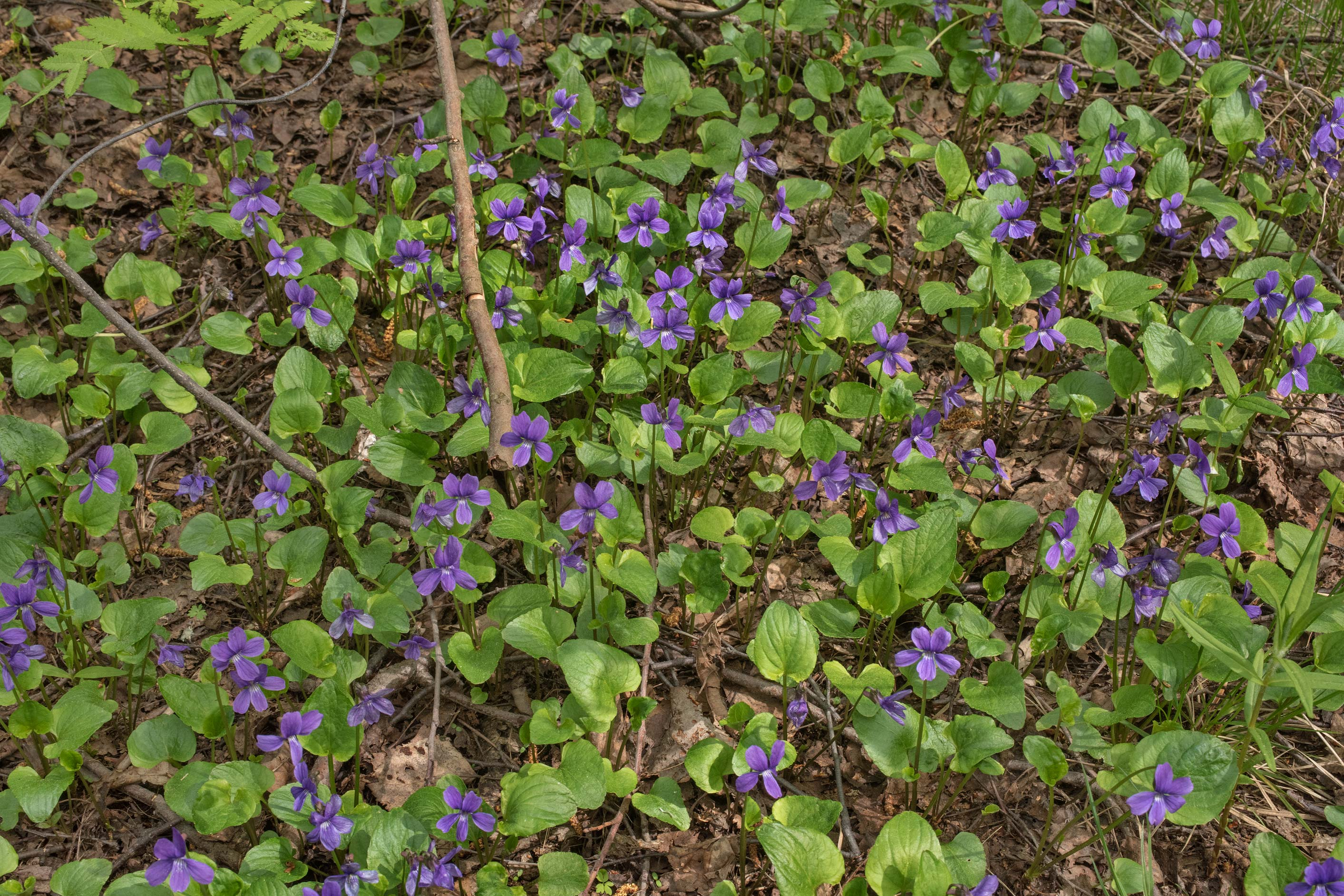 Blooming bog violet (Viola) in Dubki Park in Sestroretsk, west from St.Petersburg. Russia