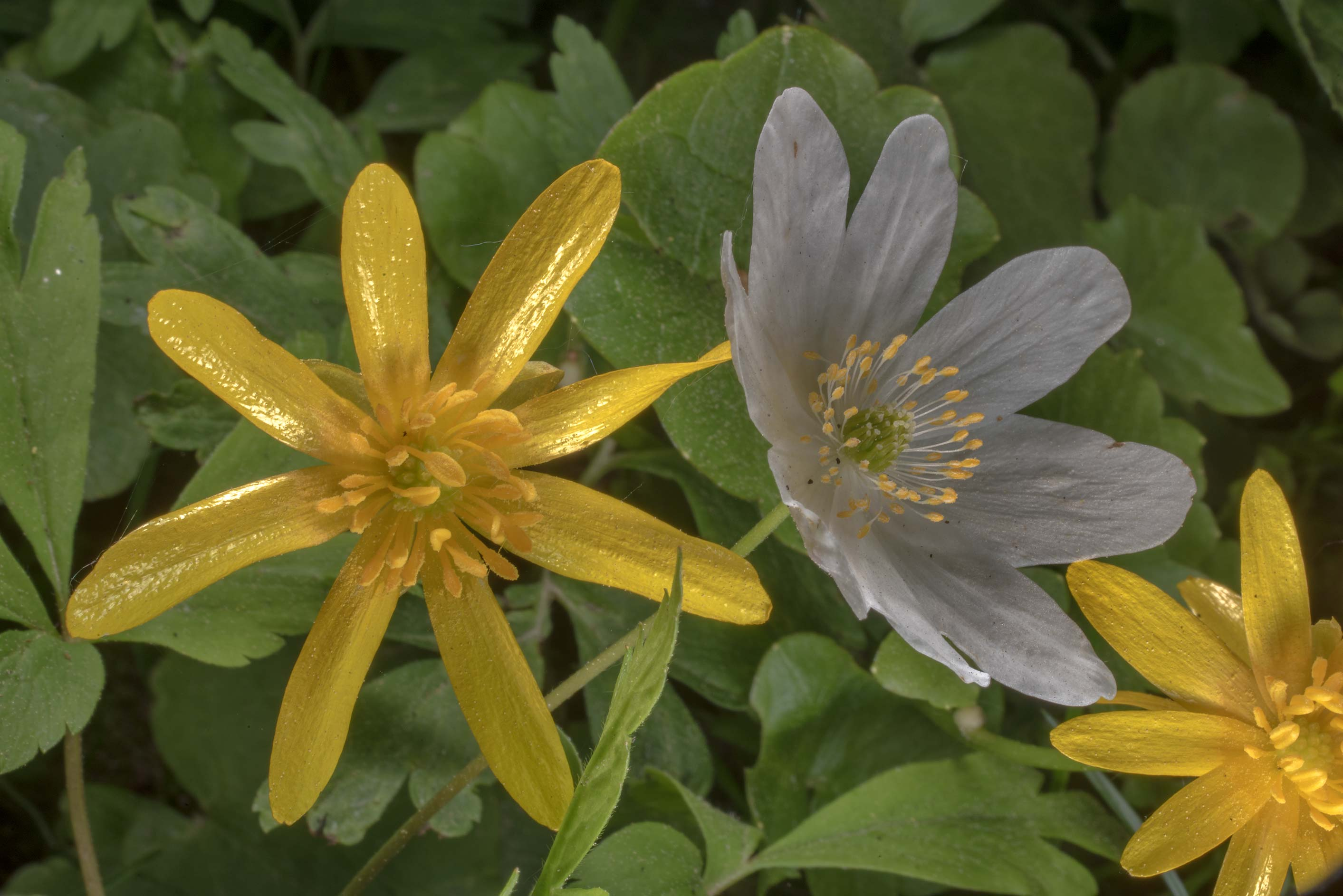 Lesser celandine (Ficaria verna) and wood anemone...west from St.Petersburg. Russia