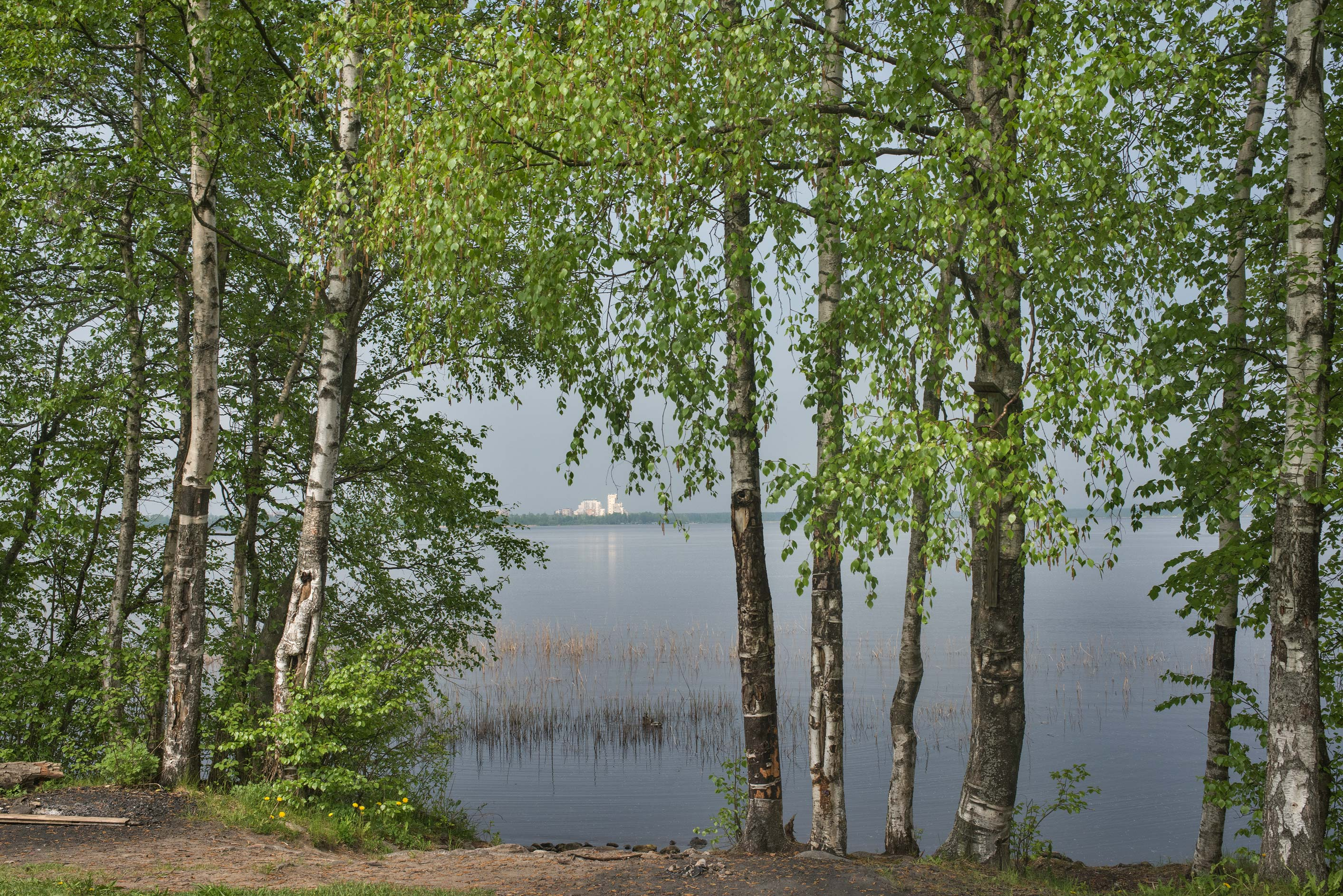 Birch trees near Razliv Lake near Lenin Trail in...north-west from St.Petersburg, Russia