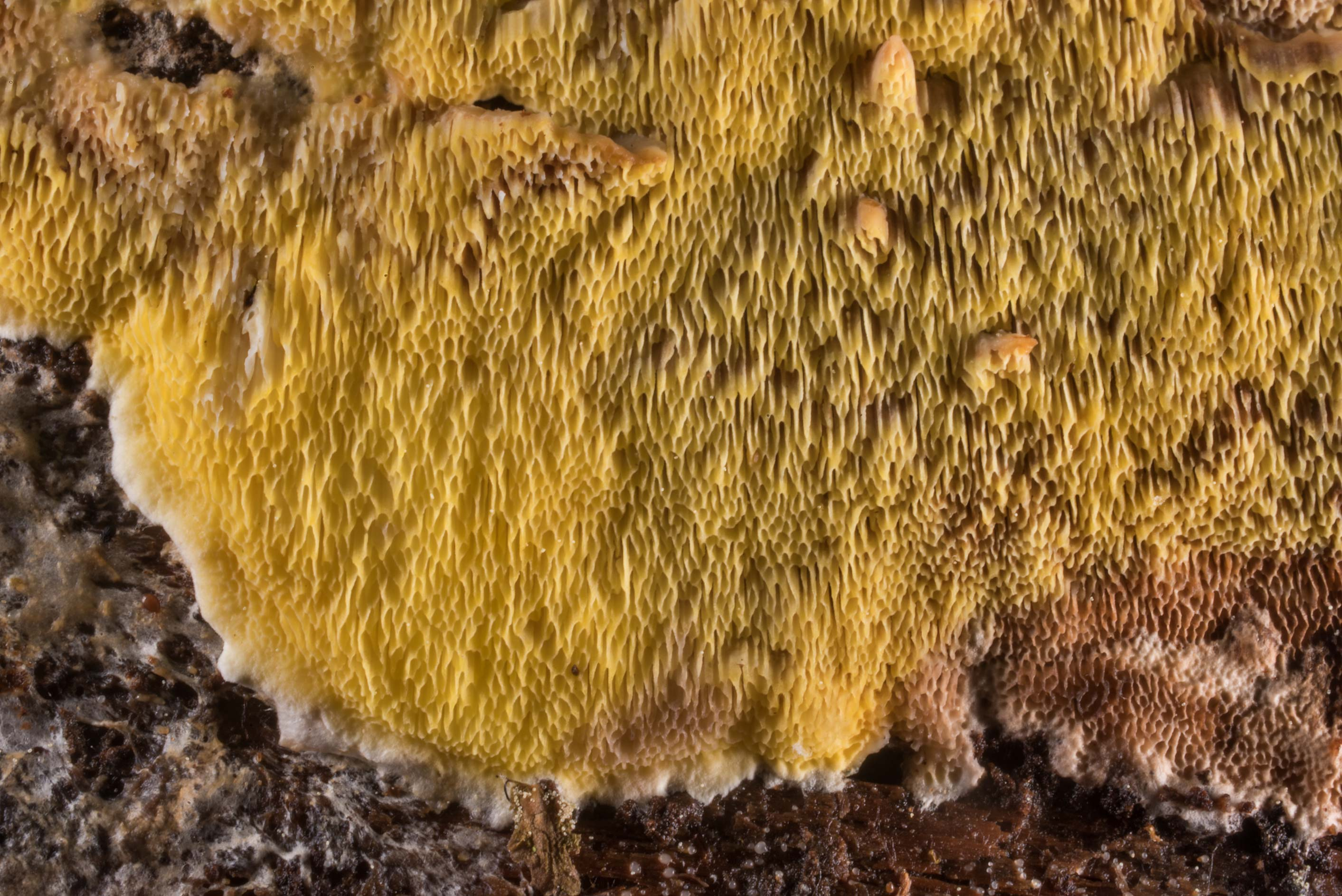 Close up of polypore mushroom Flaviporus...north-west from St.Petersburg. Russia