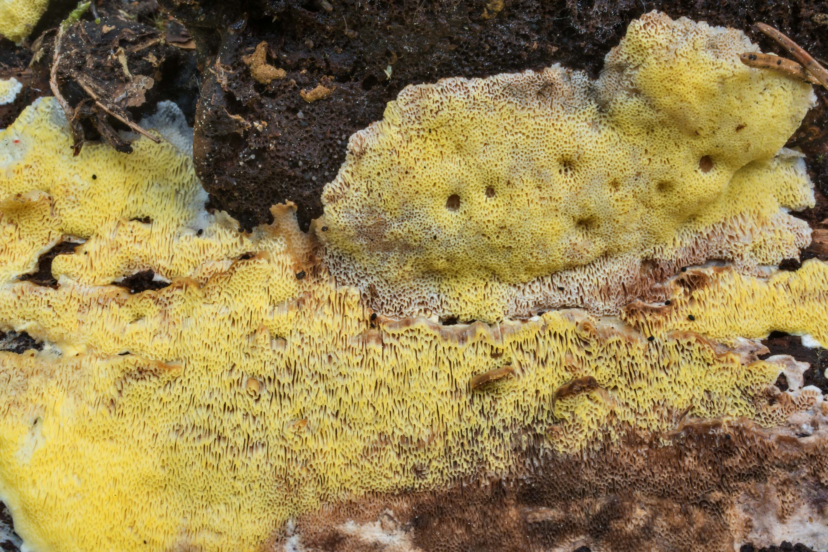 Details of yellow polypore mushroom Flaviporus...north-west from St.Petersburg. Russia