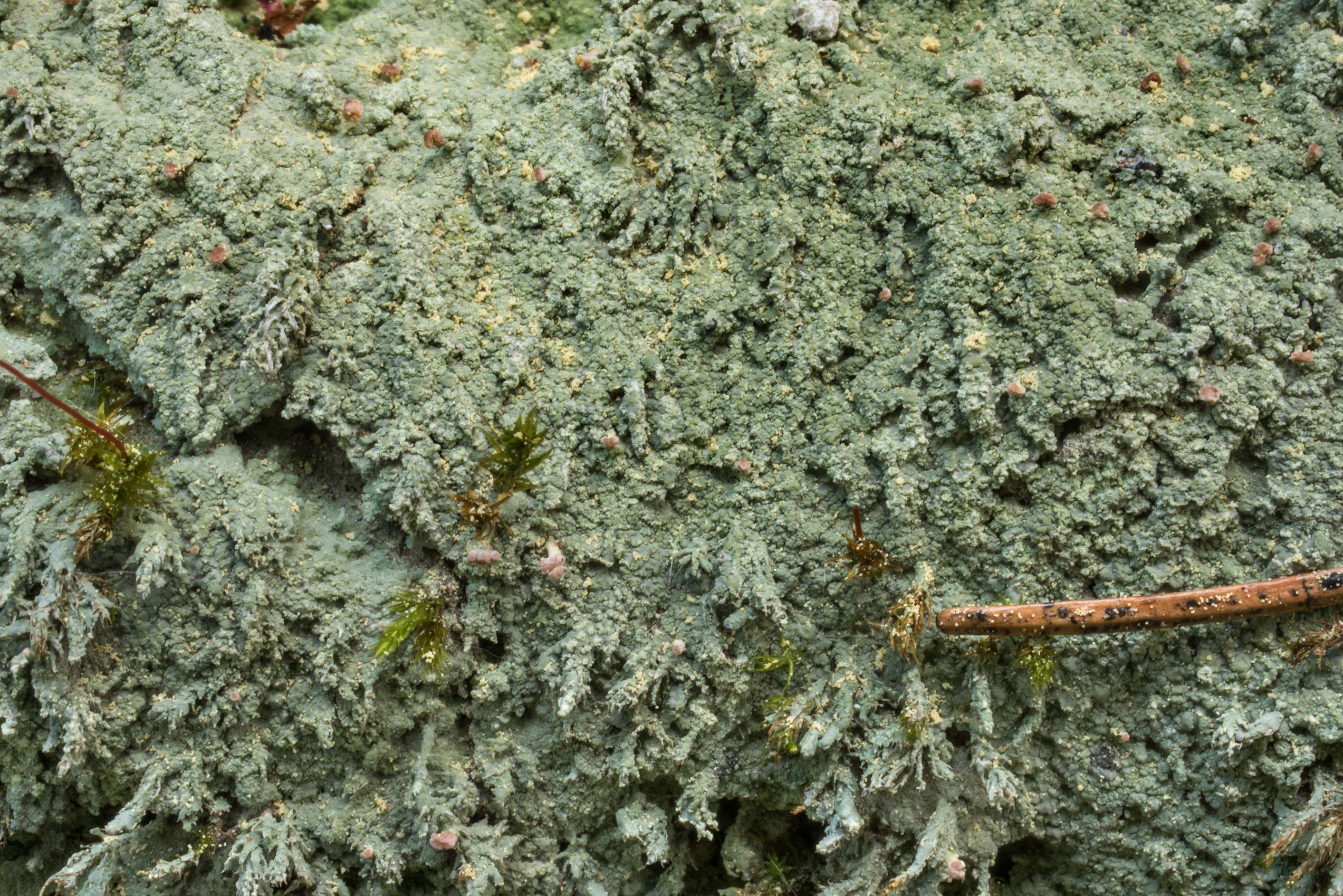 Green cover of brown beret lichen (Baeomyces...north-west from St.Petersburg. Russia
