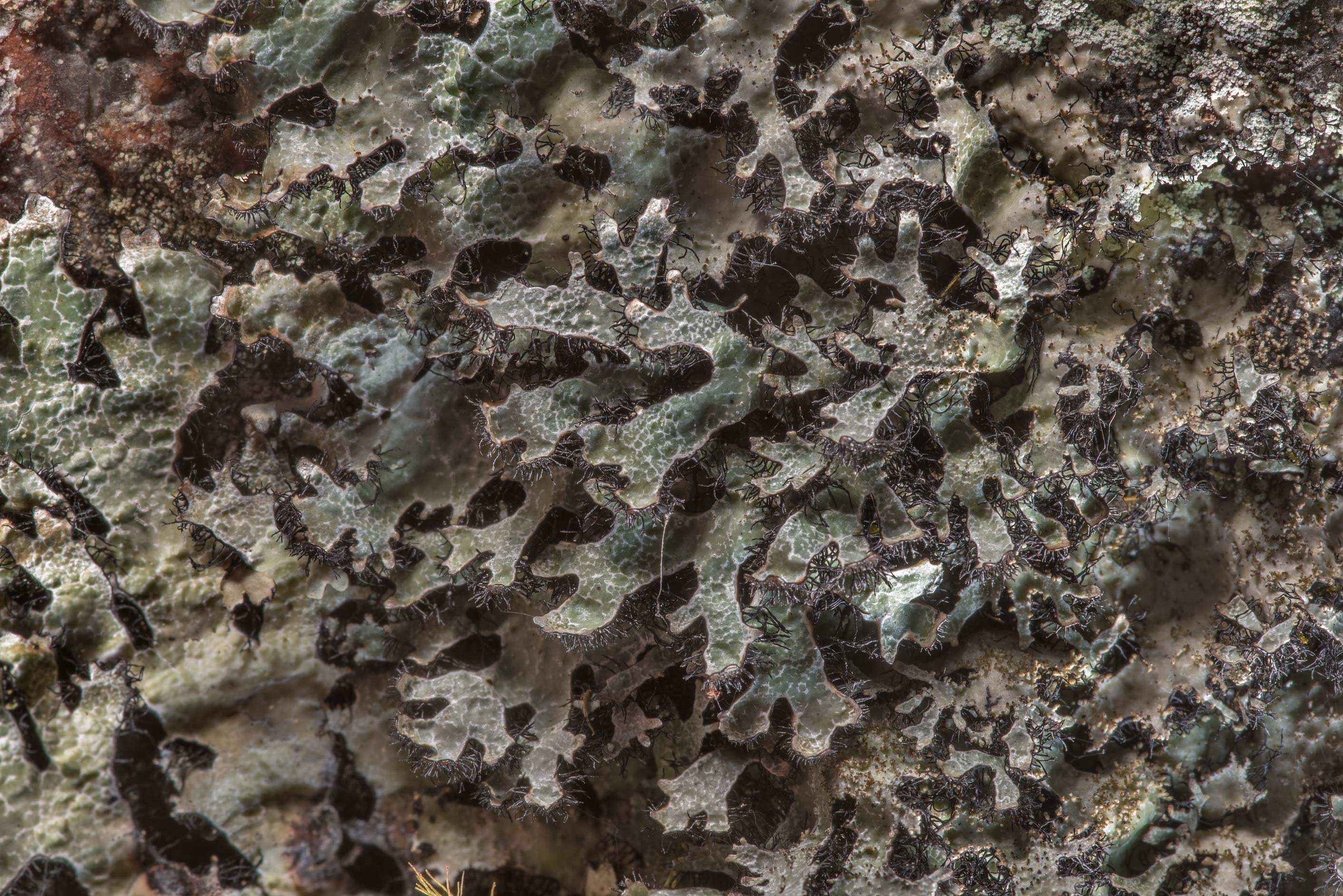 Salted shield lichen (crottle, Parmelia saxatilis...in Monrepos Park in Vyborg. Russia