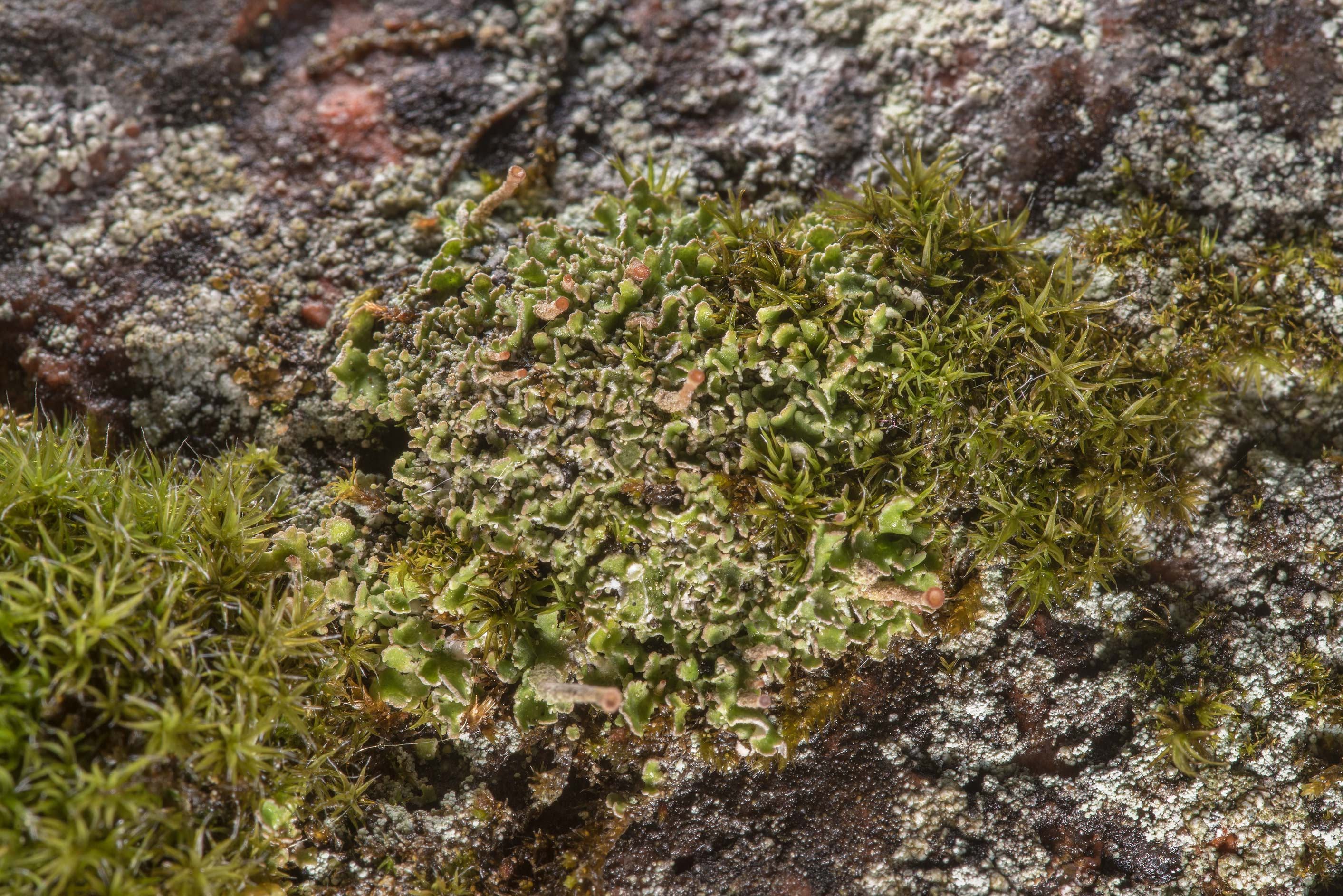 Small foliose lichen Cladonia incrassata on...in Monrepos Park in Vyborg. Russia