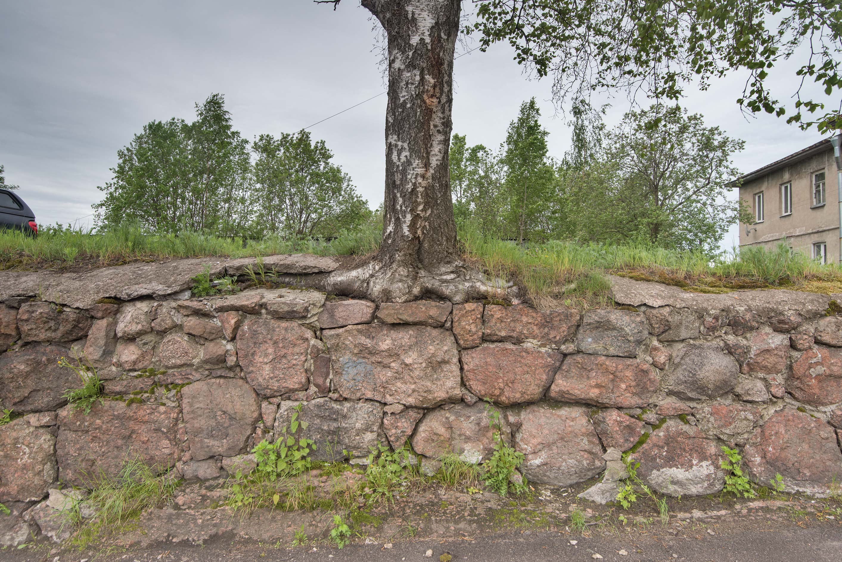 Birch growing on a stone fence at Storozhevoy Bashni St. in old city of Vyborg. Russia