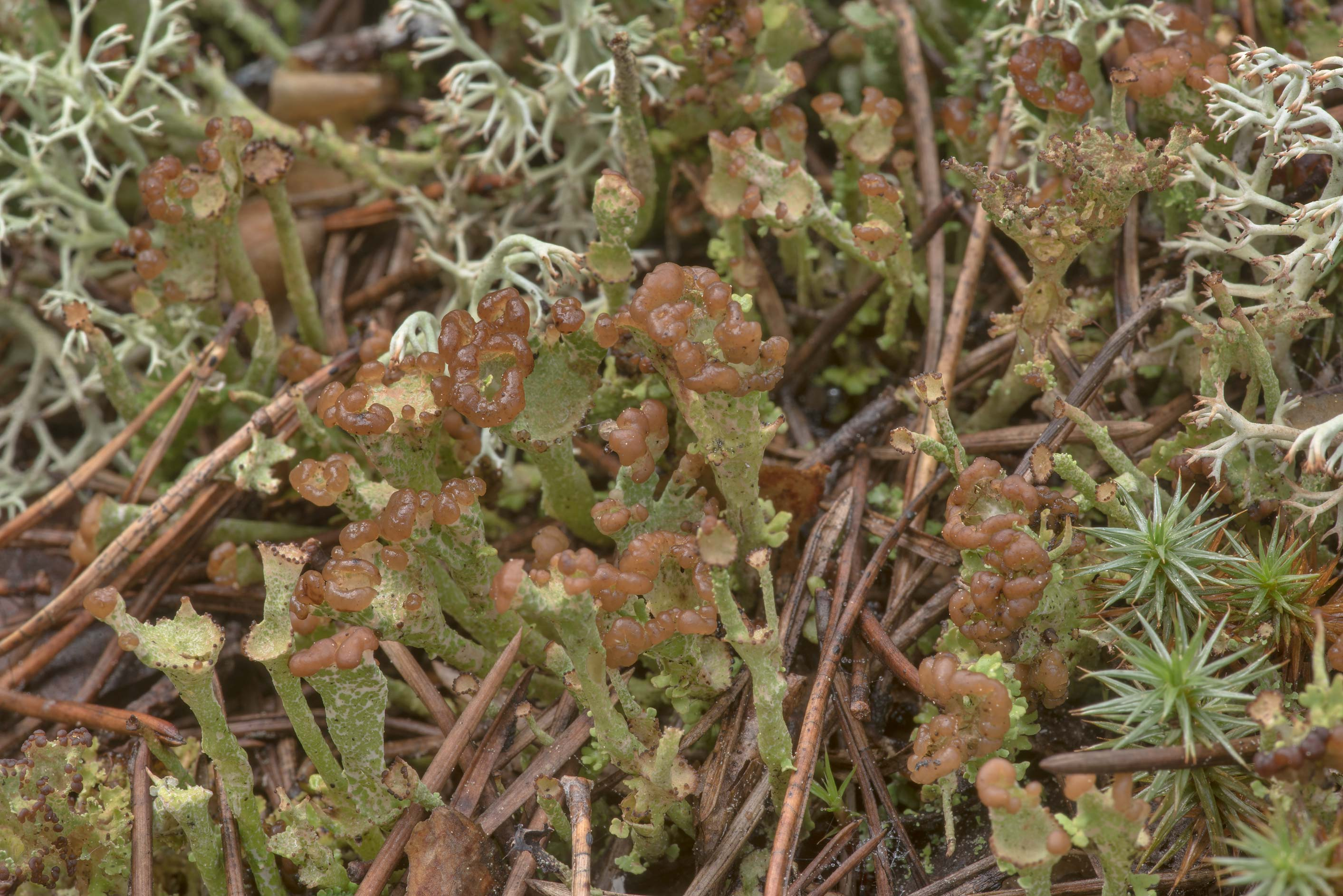 Trumpet like lichen Cladonia in moss in...miles north from St.Petersburg. Russia