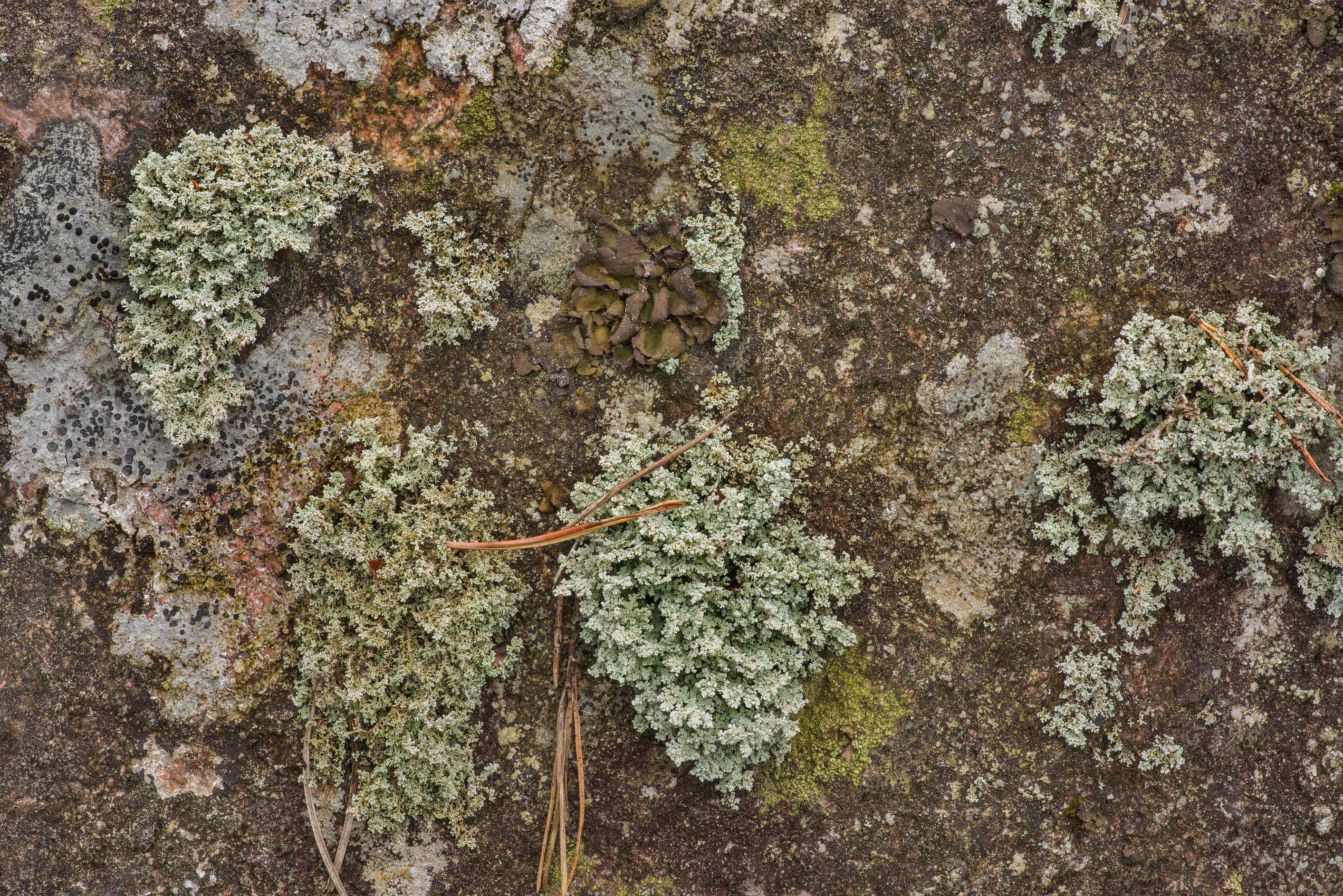 Rock foam lichen (Stereocaulon saxatile) with...miles north from St.Petersburg. Russia