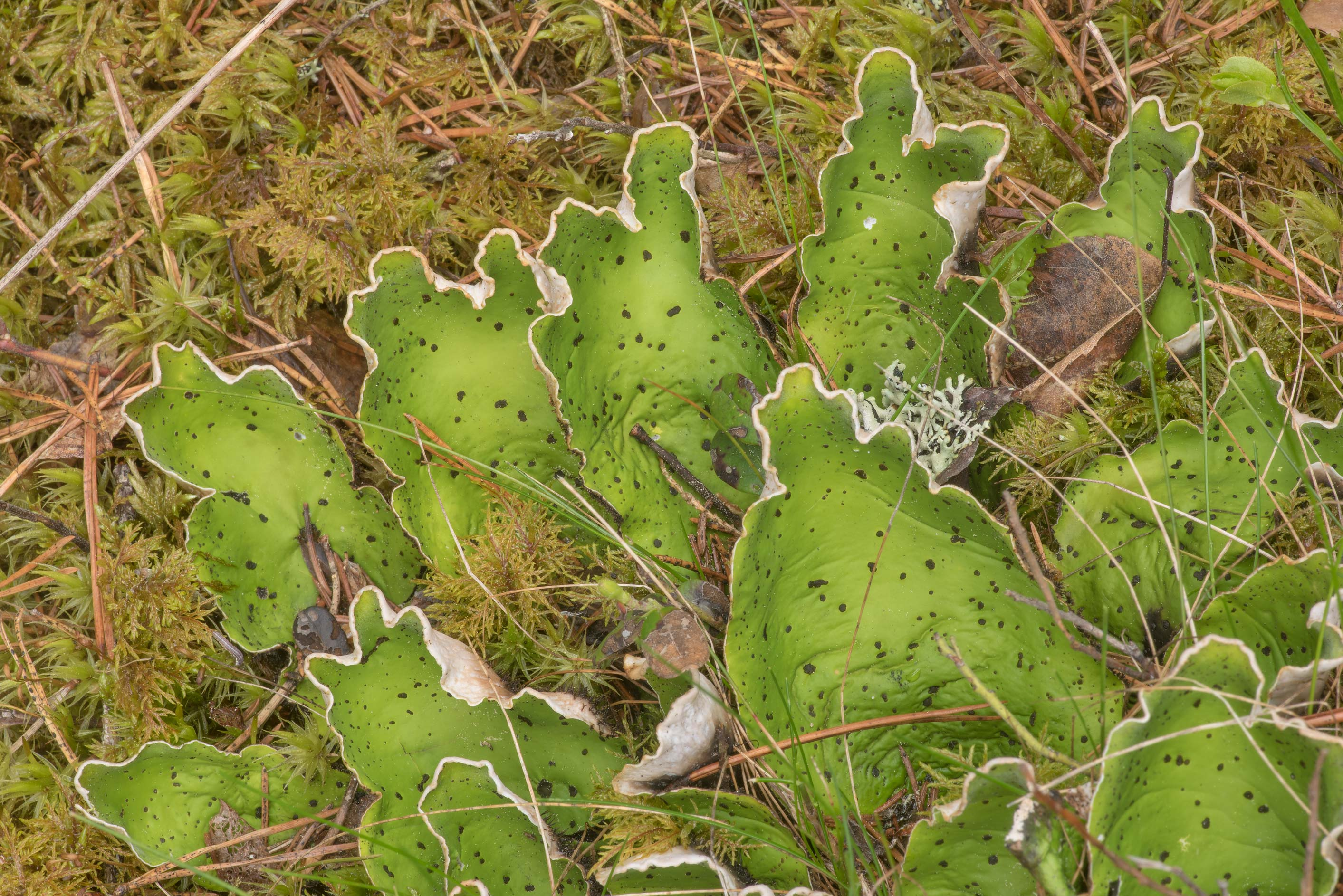 Green lobes of felt lichen (common freckle pelt...north from St.Petersburg. Russia