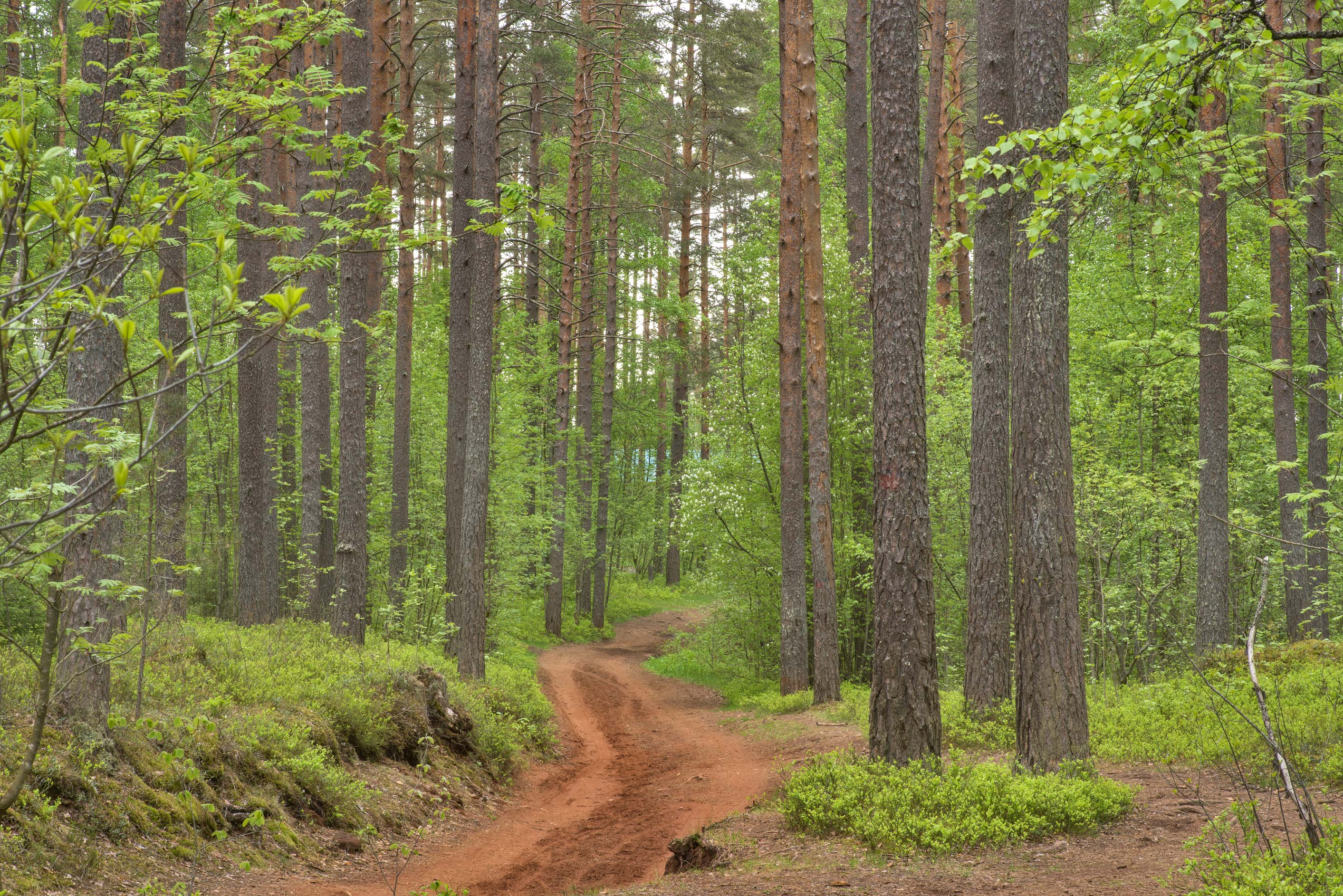 Road in a pine forest in Petiayarvi, north from St.Petersburg. Russia