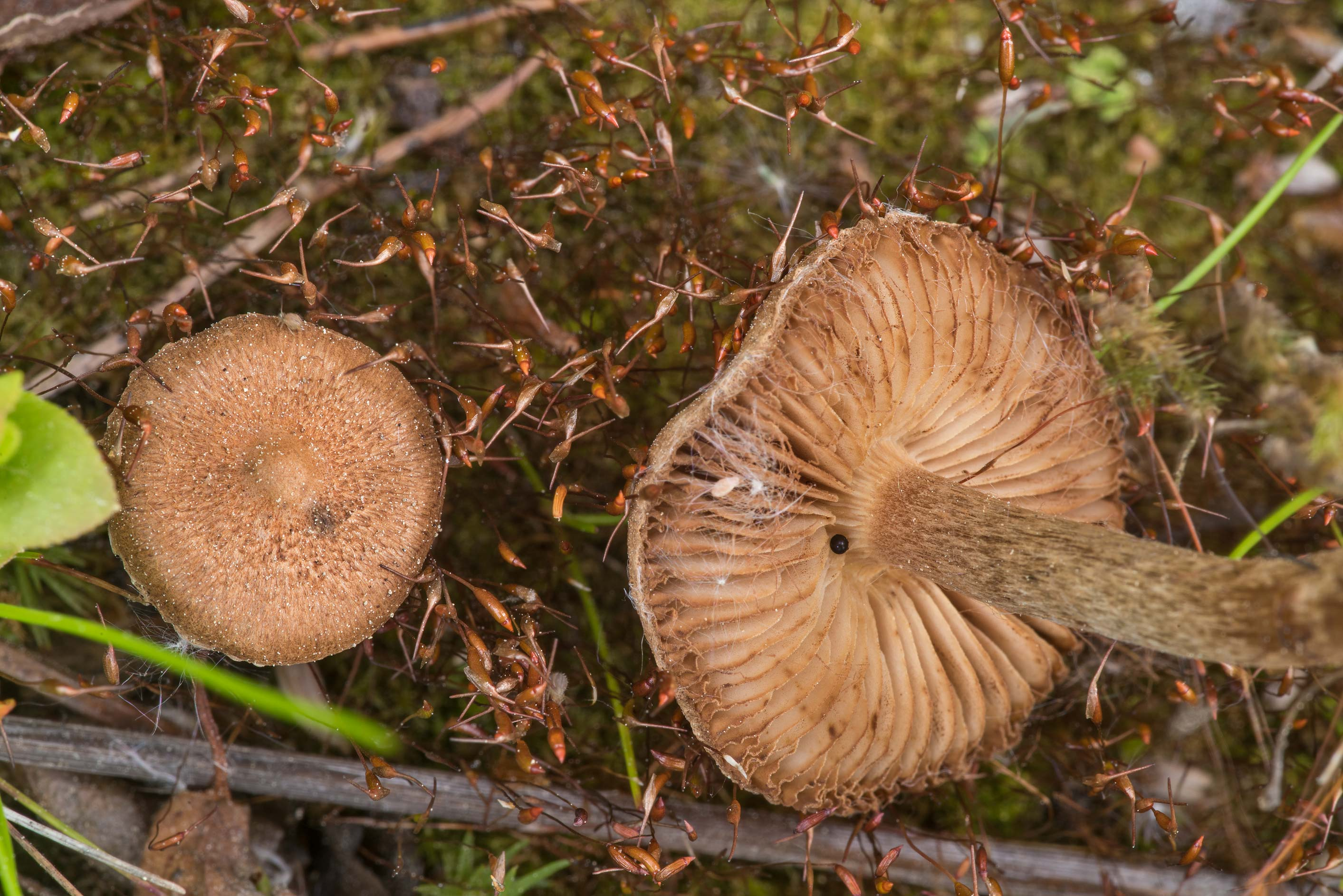 Fibrecap (Inocybe) mushrooms in moss in open...north from St.Petersburg. Russia