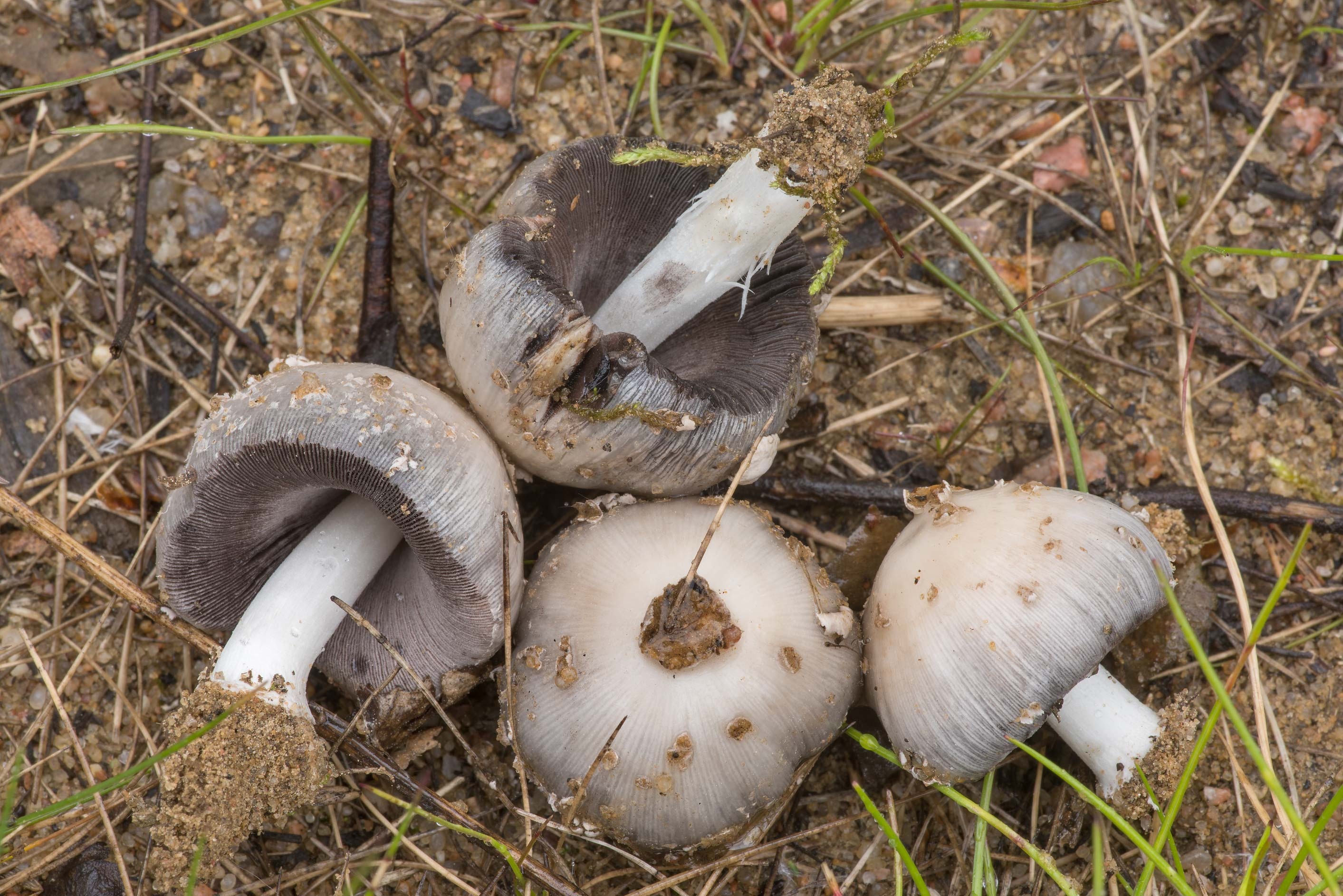 Small inkcap mushrooms (Coprinopsis) on sandy...north from St.Petersburg. Russia
